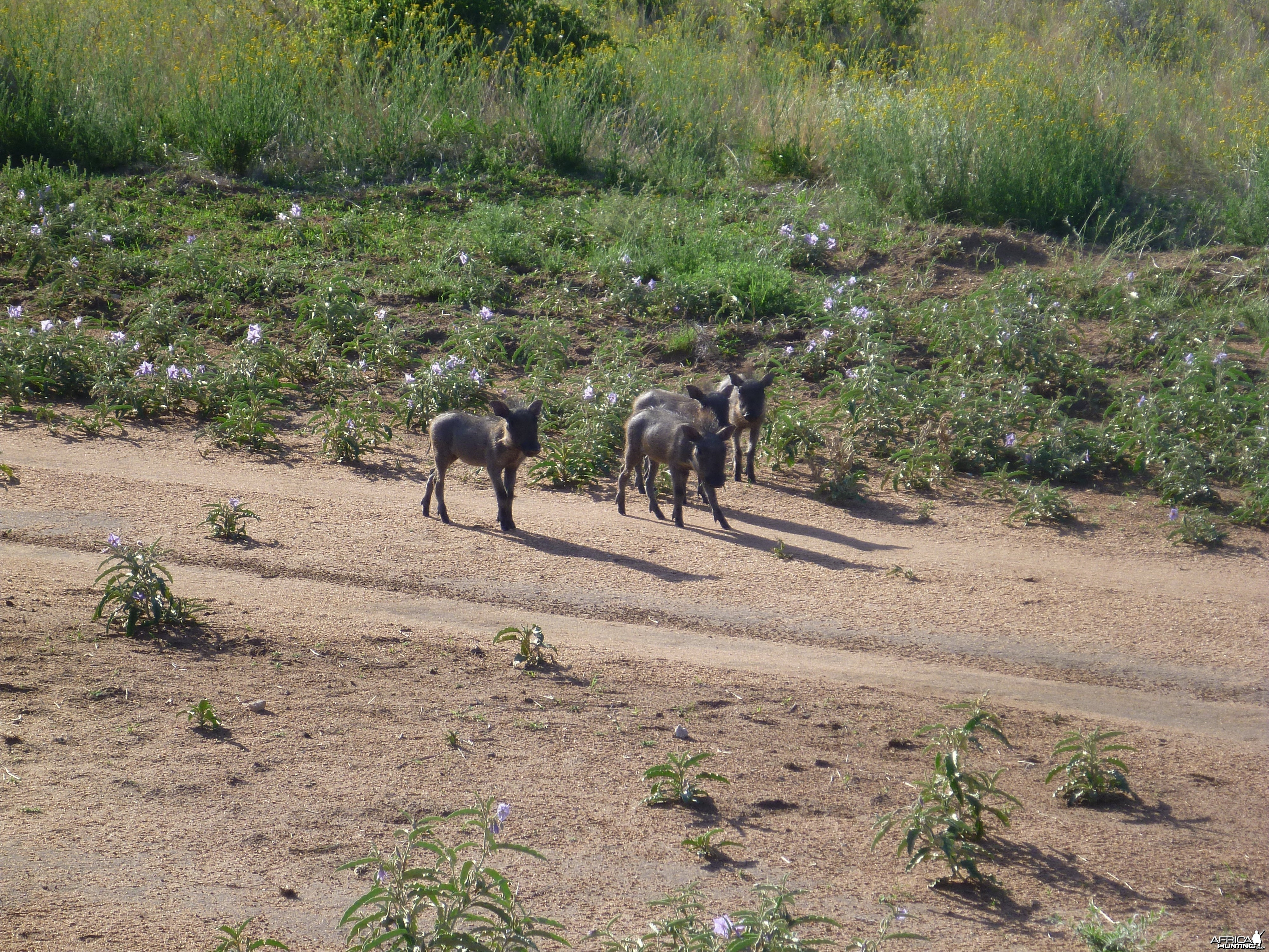 Young Warthog Namibia