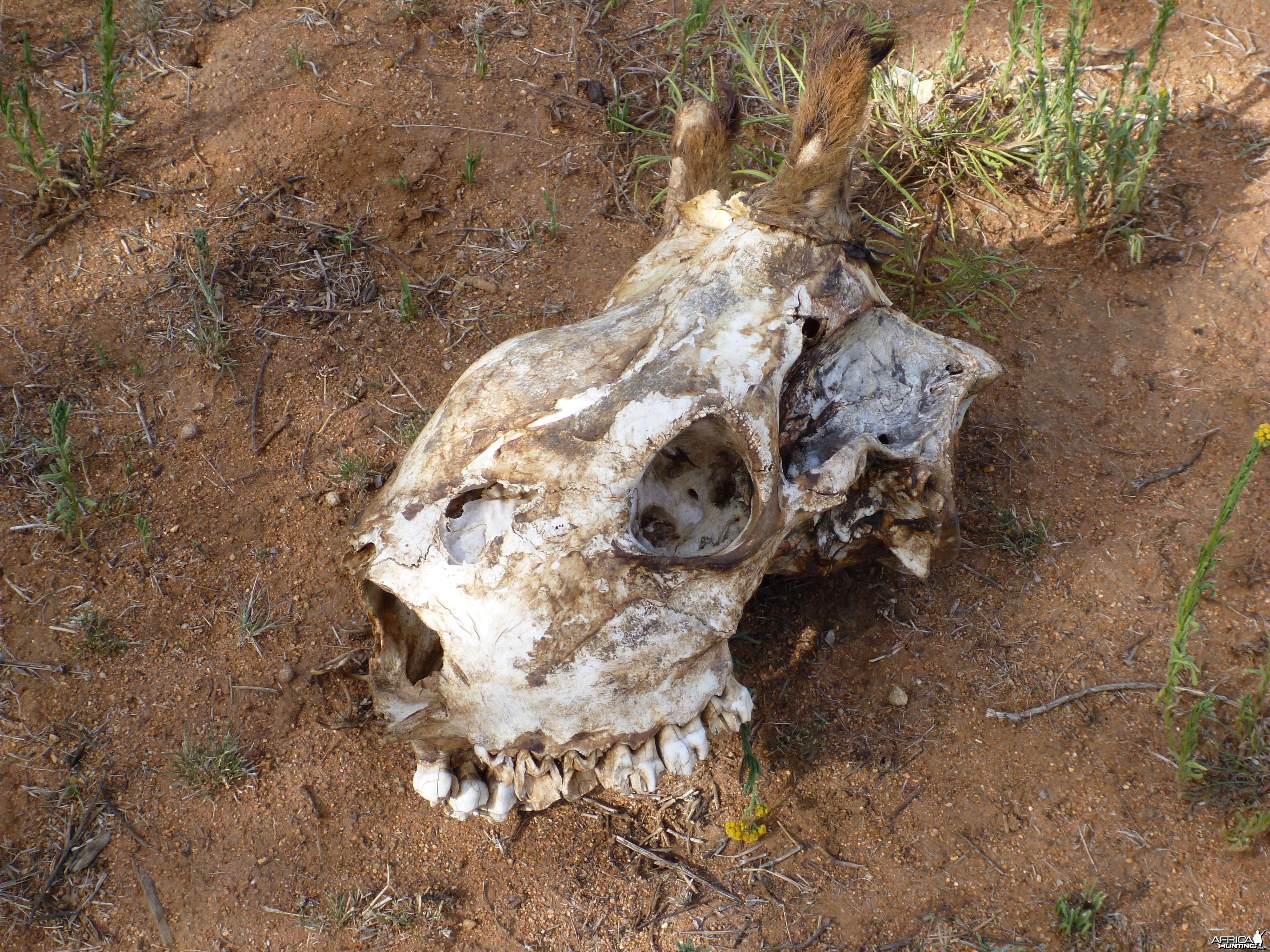 Giraffe Skull Namibia
