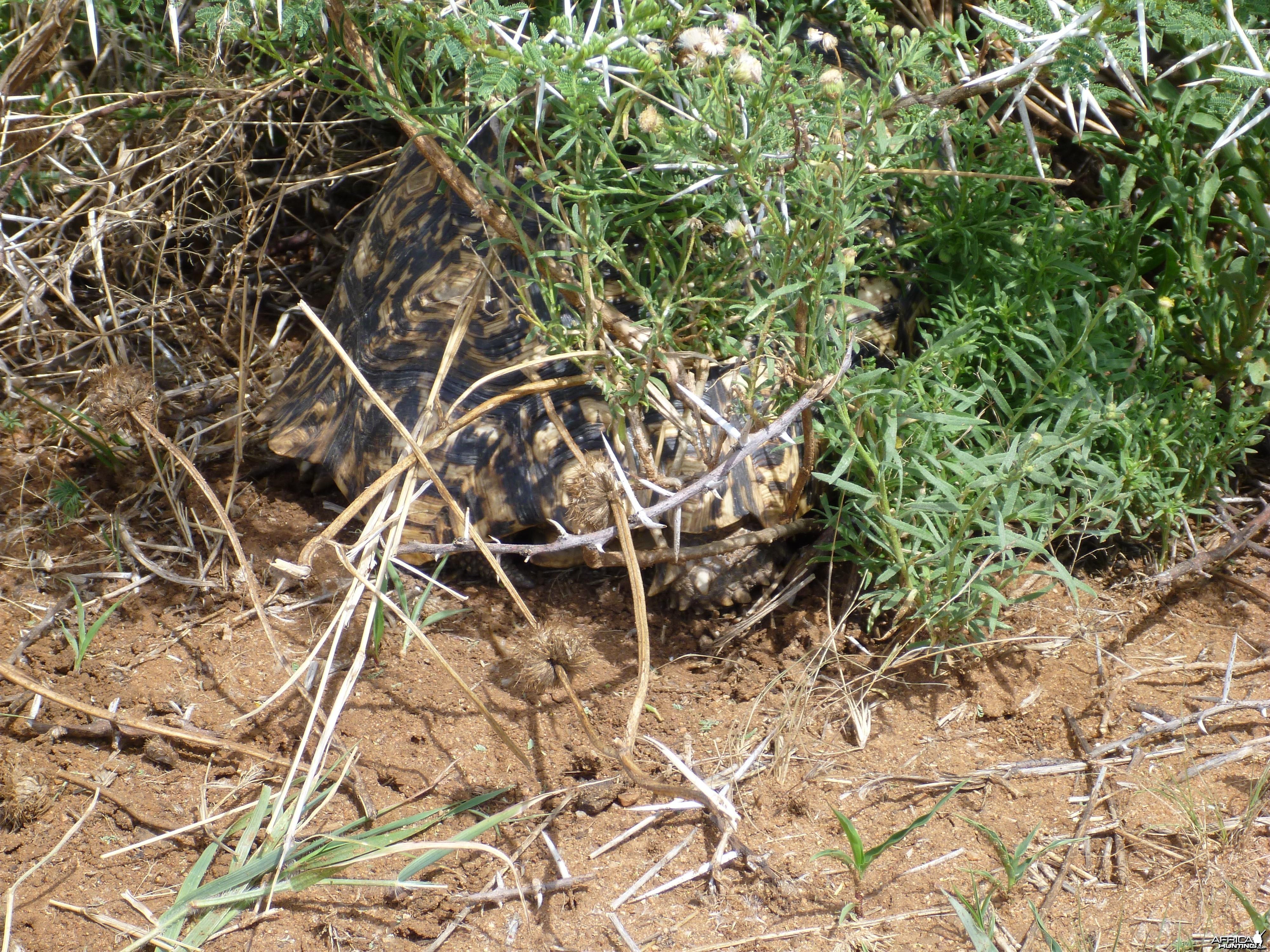 Tortoise Namibia