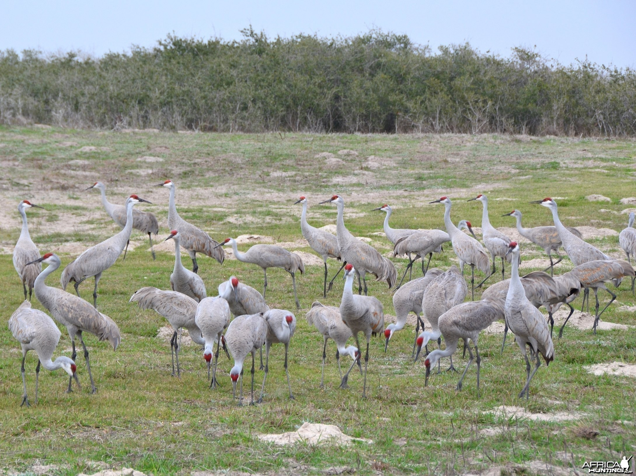 Sandhill Cranes - King Ranch Texas