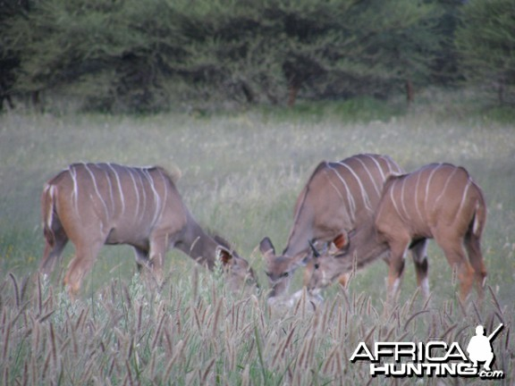 Kudu females in Namibia