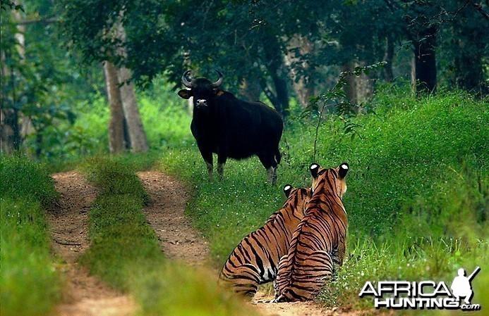 2 Tigers & a Gaur