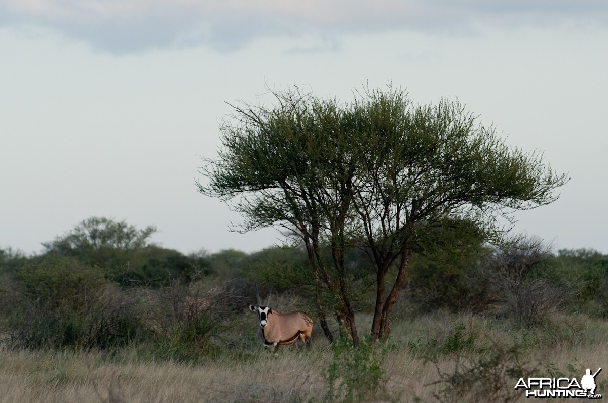 Oryx afternoon pic.