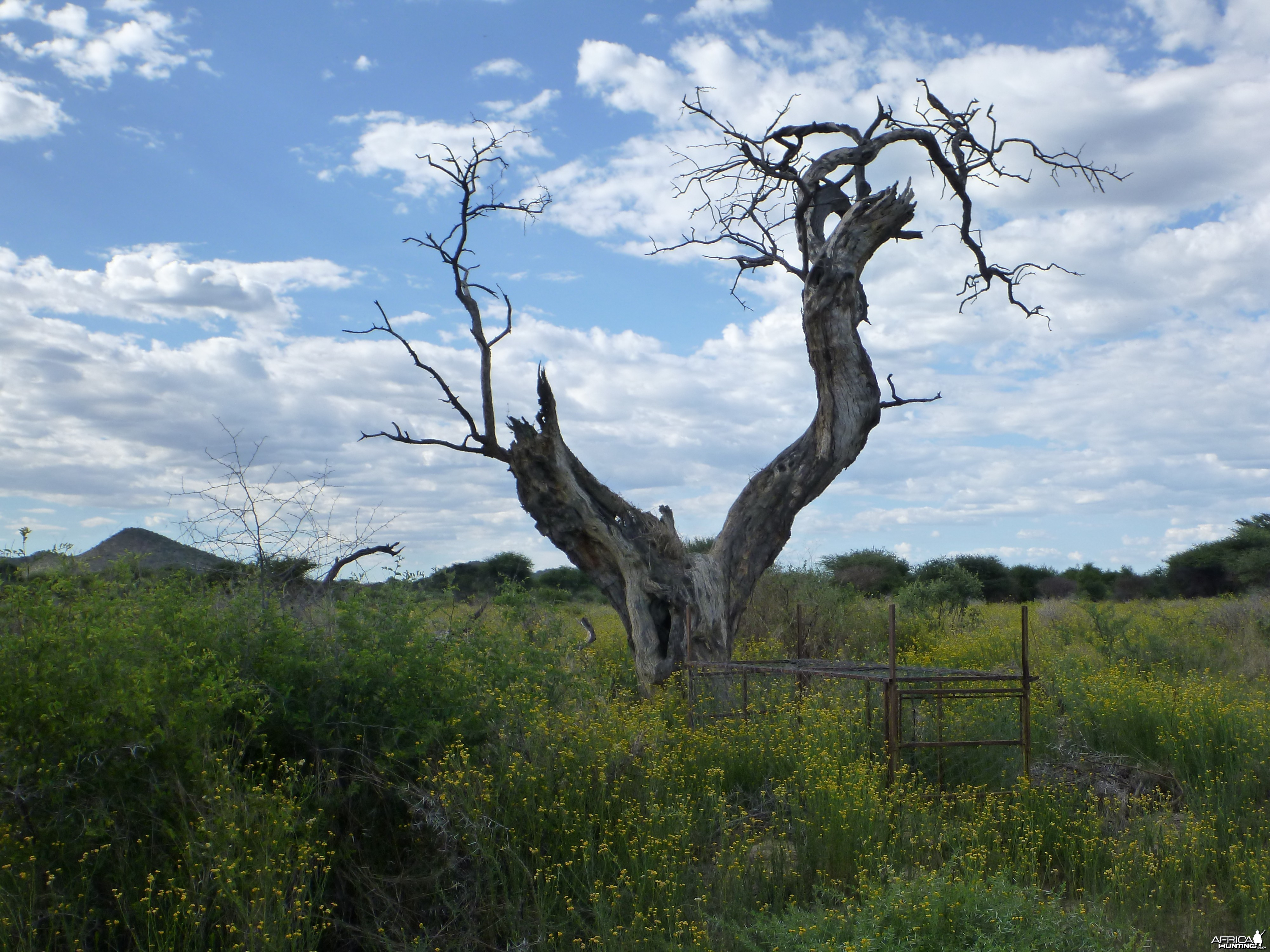 Cheetah trap by a favored play tree Namibia