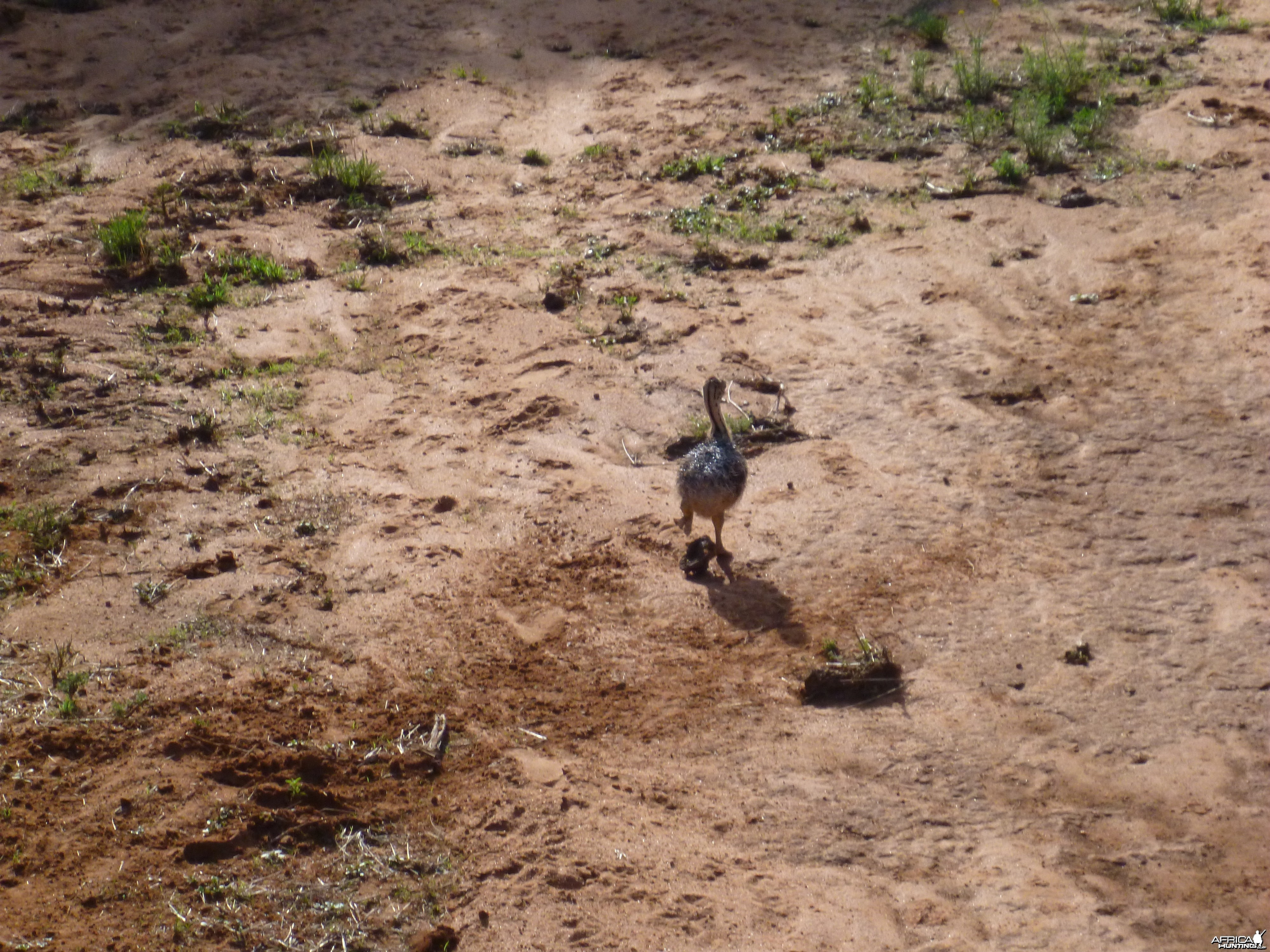Baby Ostrich Namibia