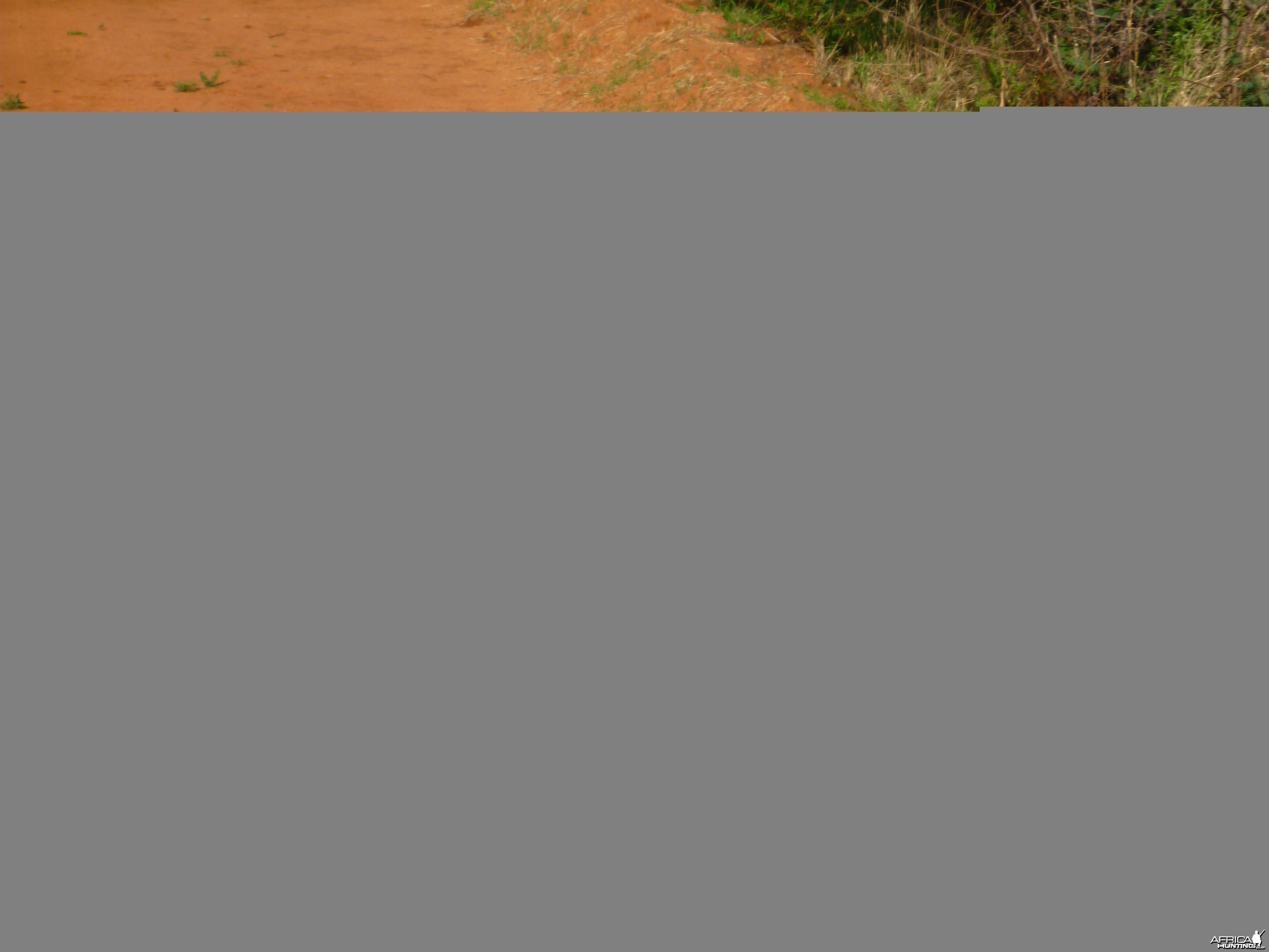 Warthog on the run... Namibia