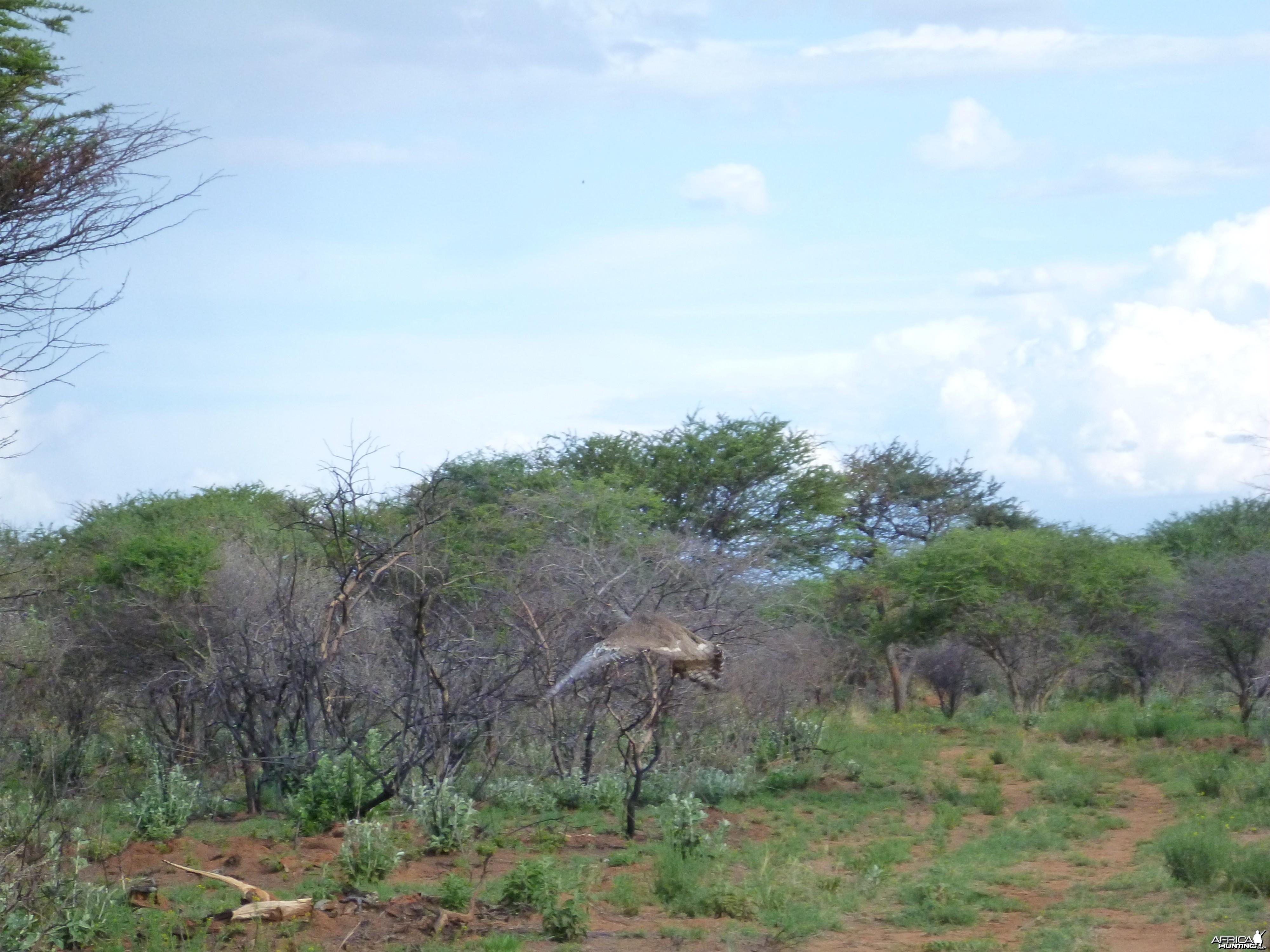 Kori Bustard Namibia