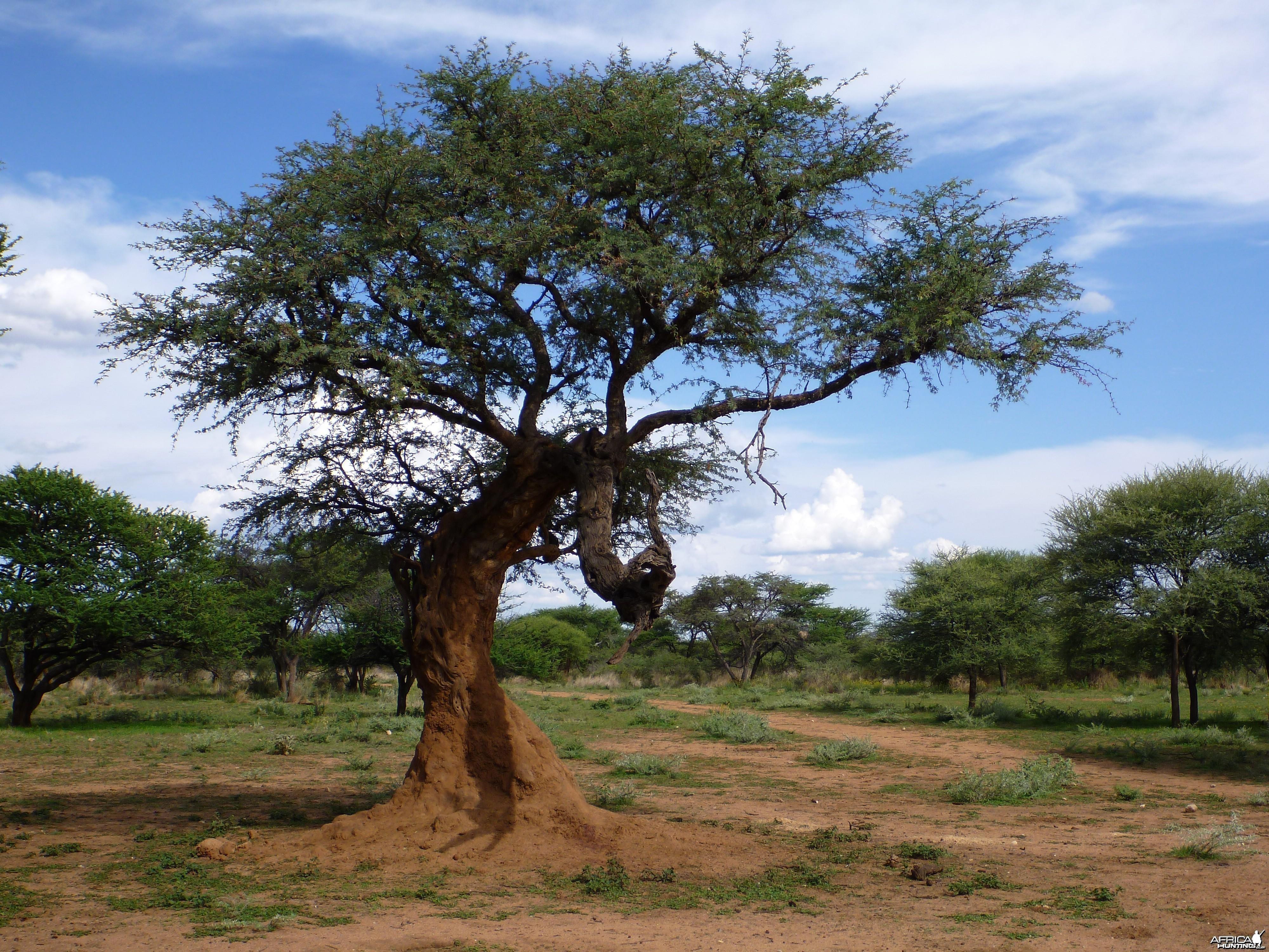 Leopard Tree Namibia