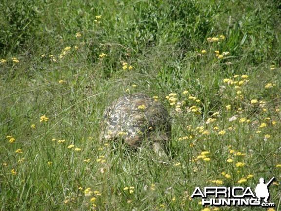 Namibia Tortoise