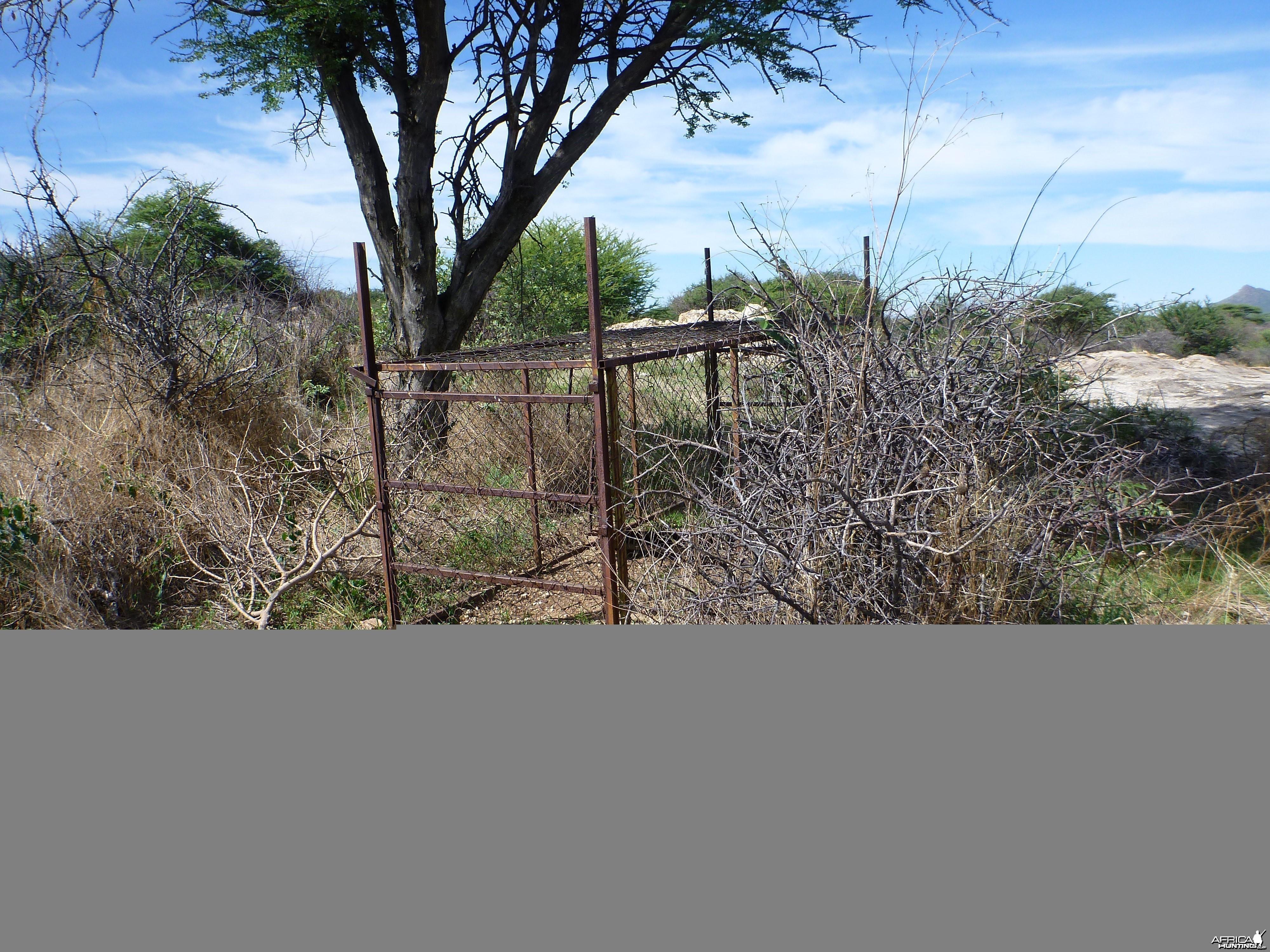 Cheetah trap by scat rocks Namibia