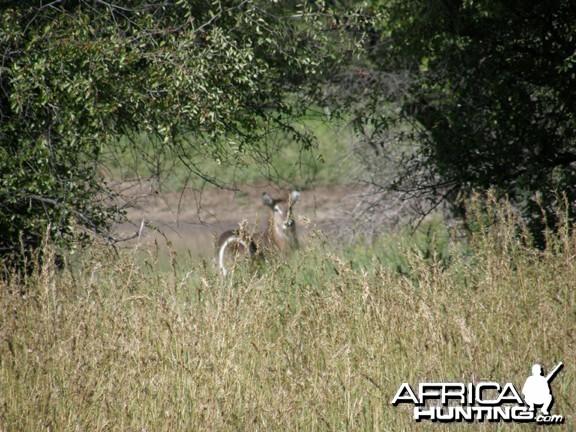 Waterbuck Namibia