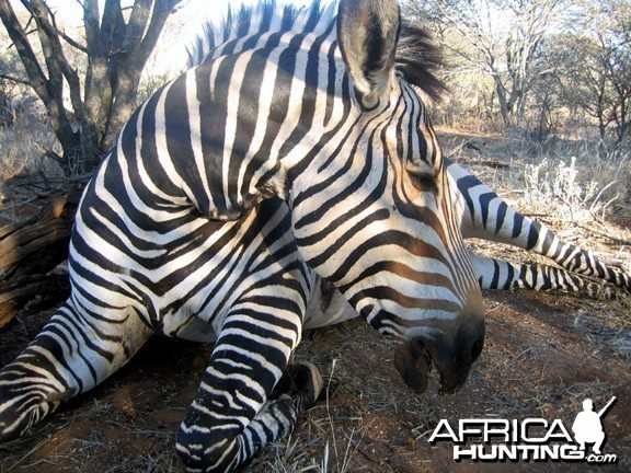 Hartmann's Zebra Hunt Namibia