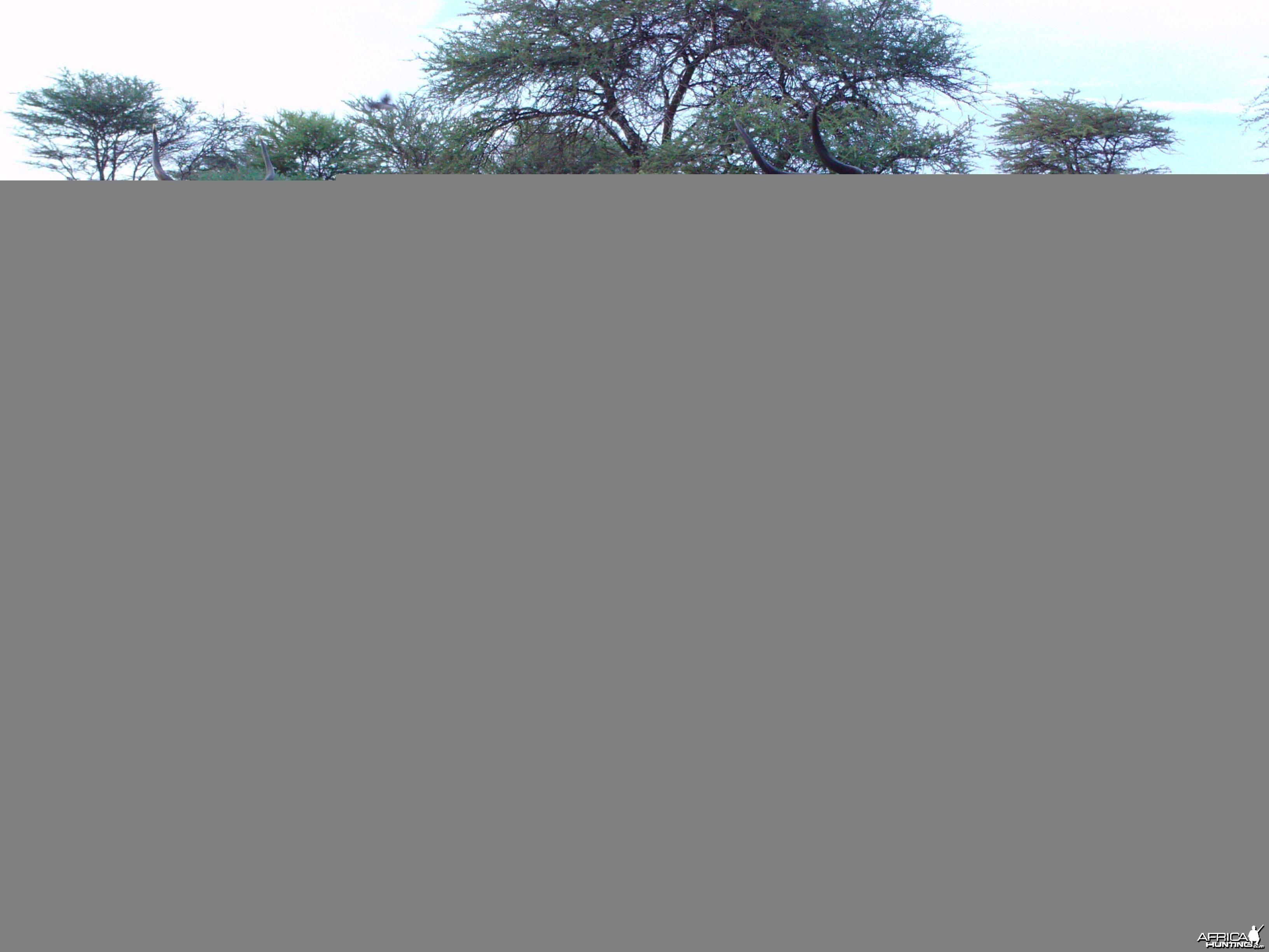 Greater Kudu Trail Camera Namibia