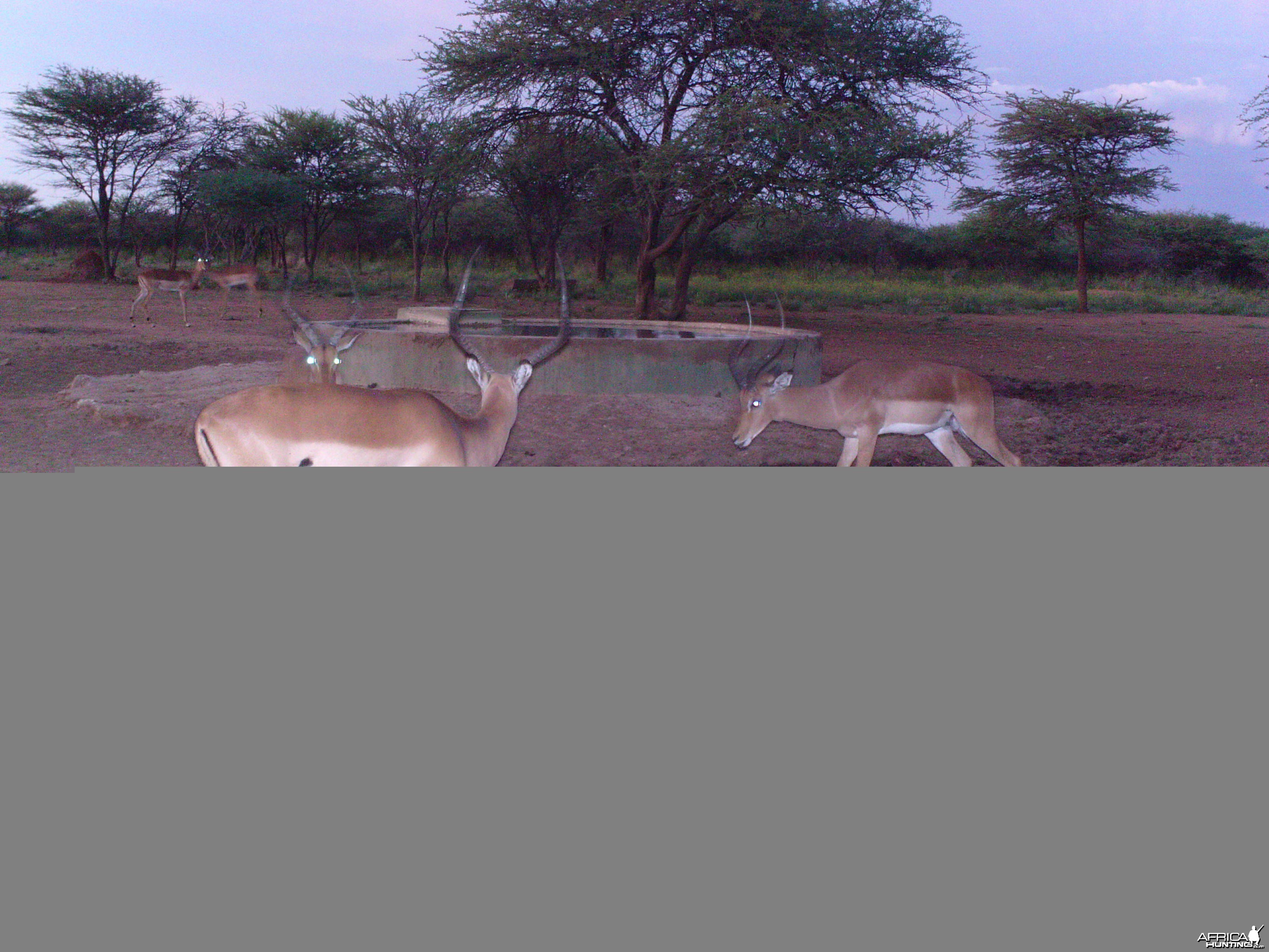Impala Trail Camera Namibia