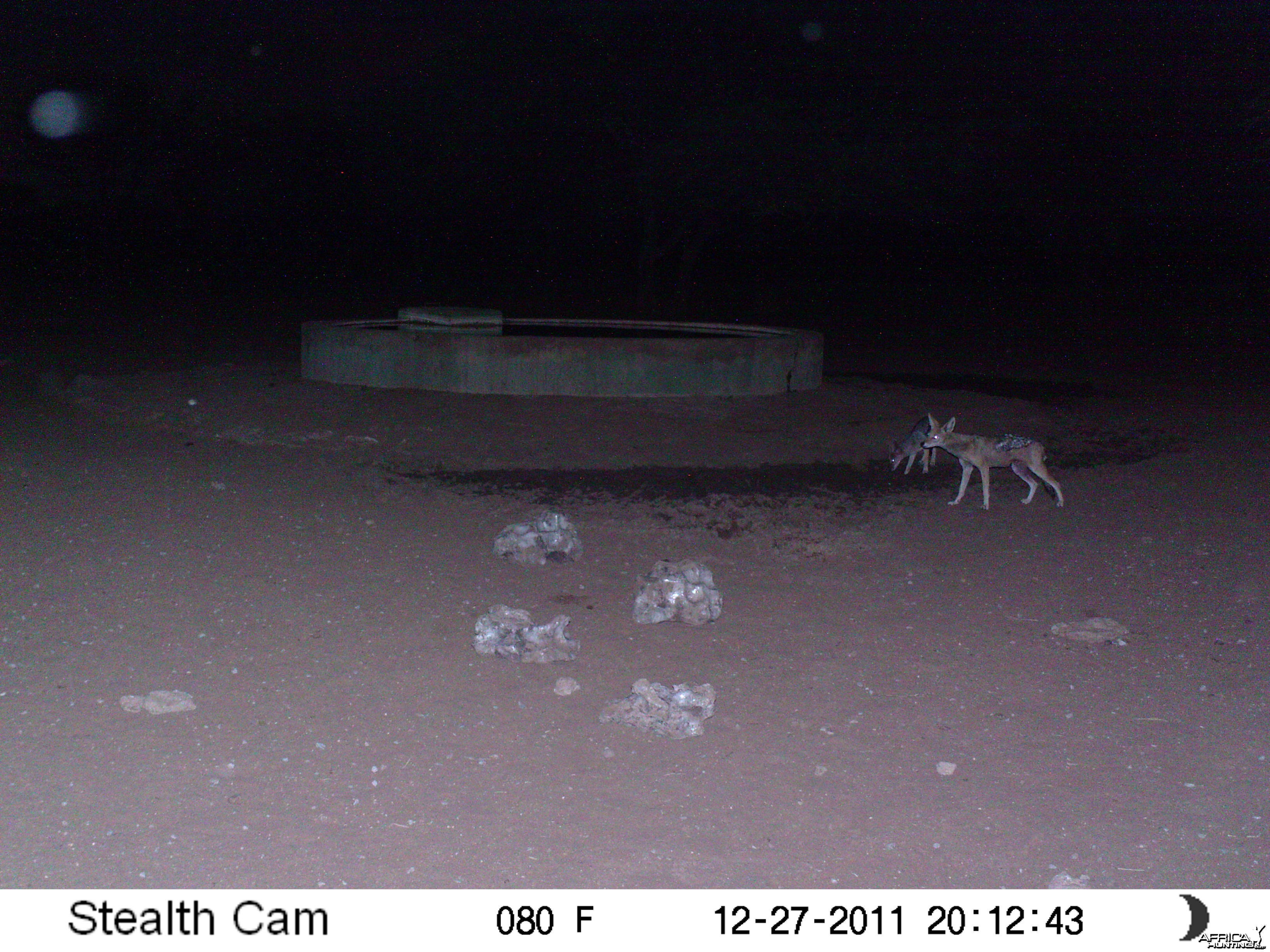 Black-backed Jackal Trail Camera Namibia