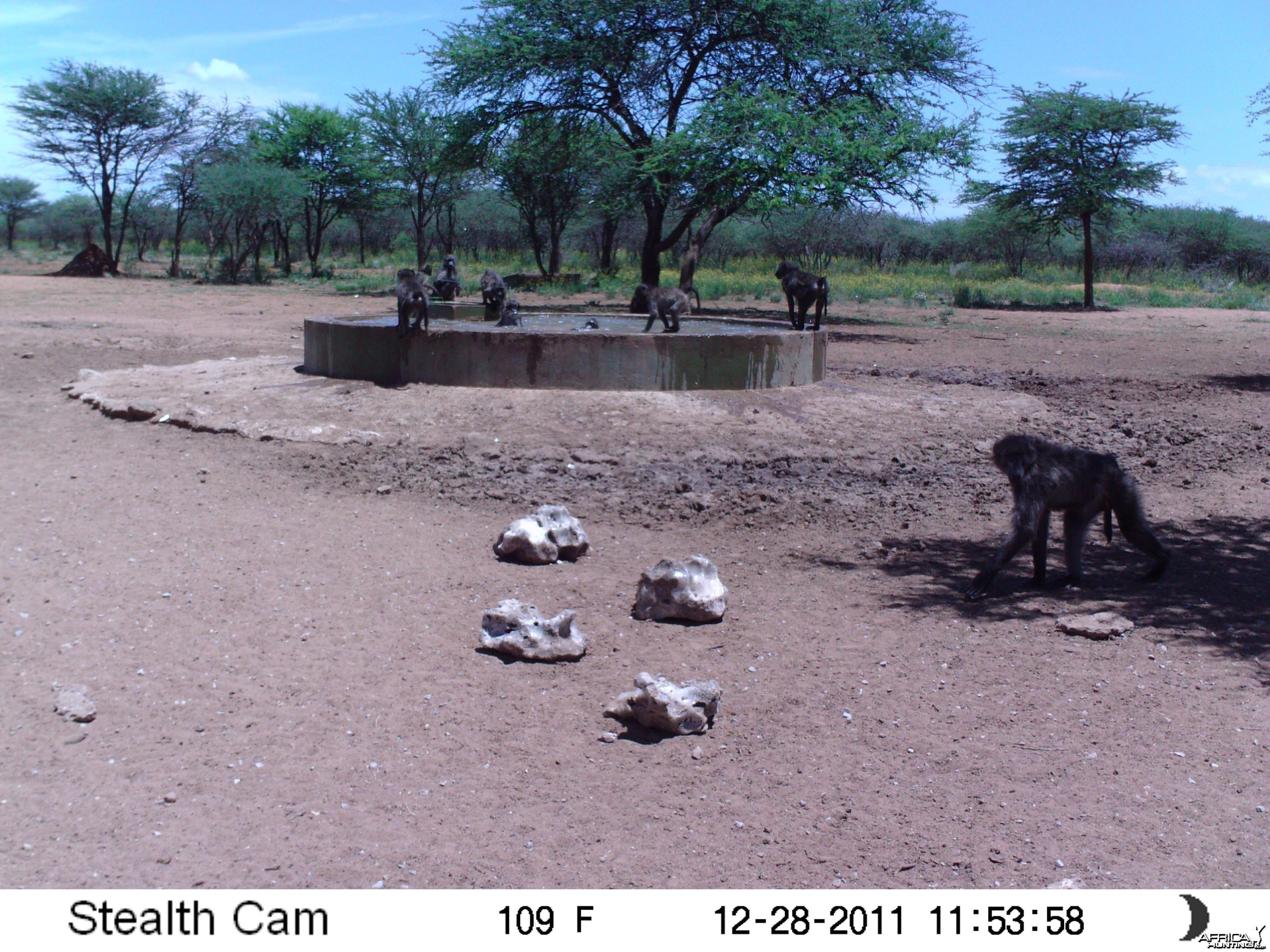 Chacma Baboon Trail Camera Namibia