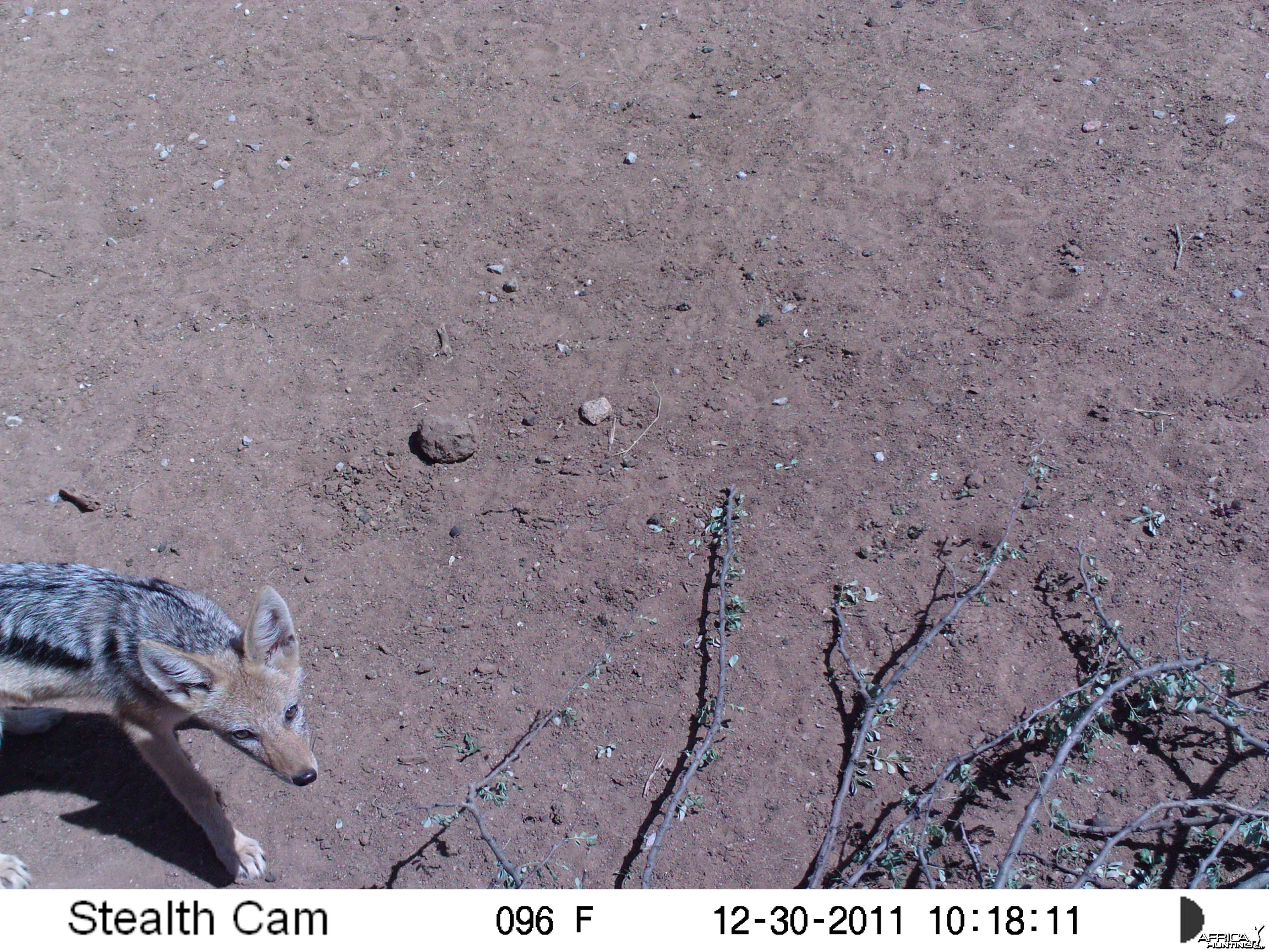 Blackibacked Jackal Trail Camera Namibia