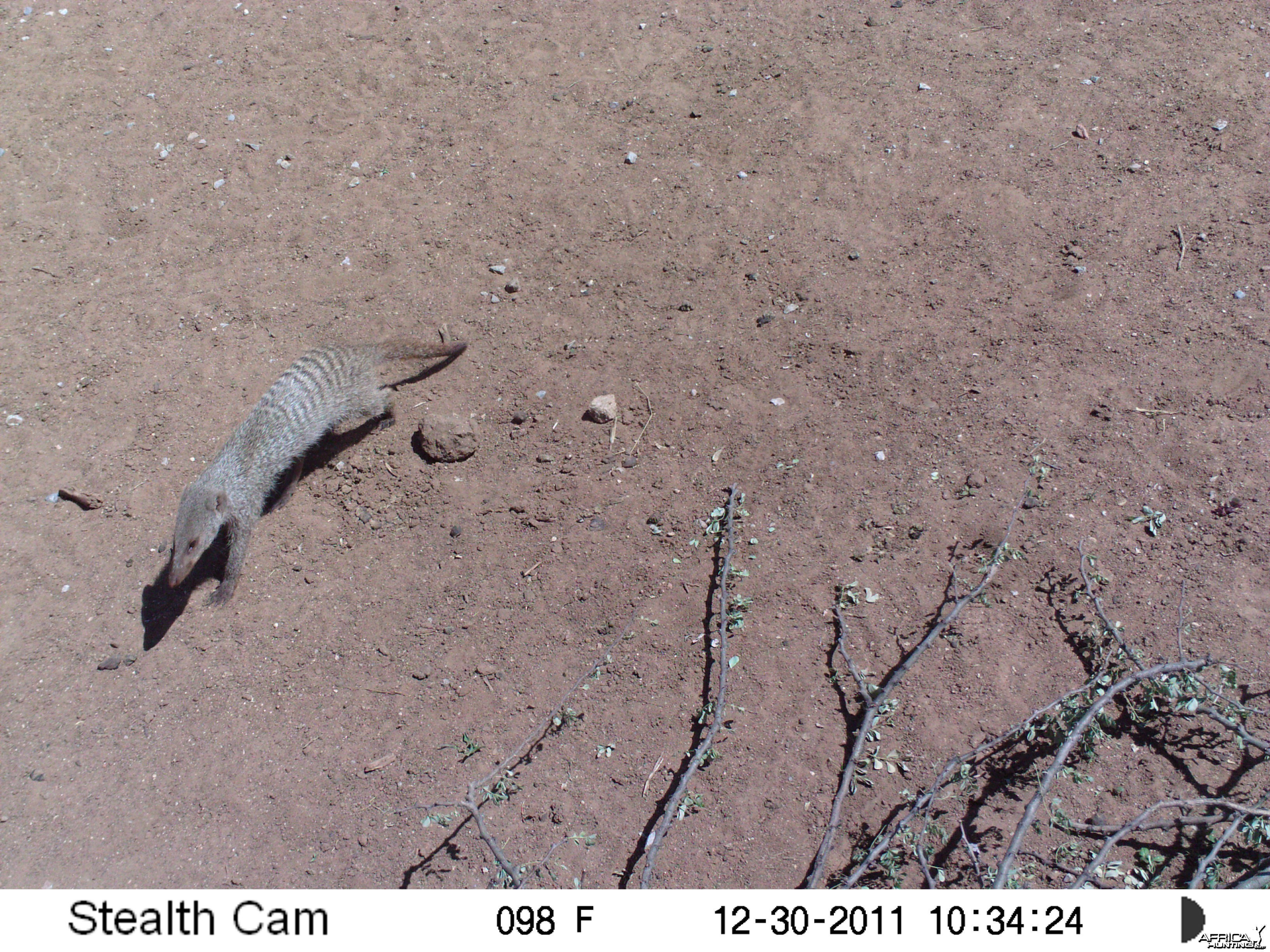 Banded Mongoose Trail Camera Namibia