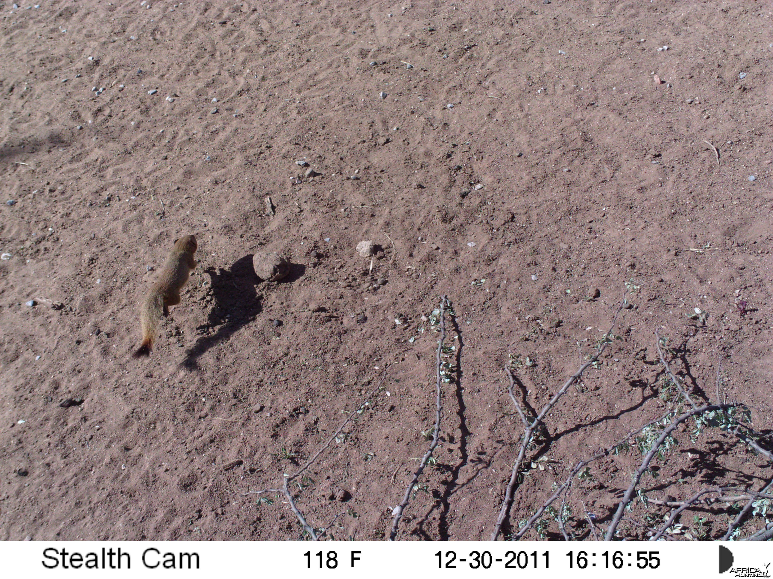 Red Mongoose Trail Camera Namibia
