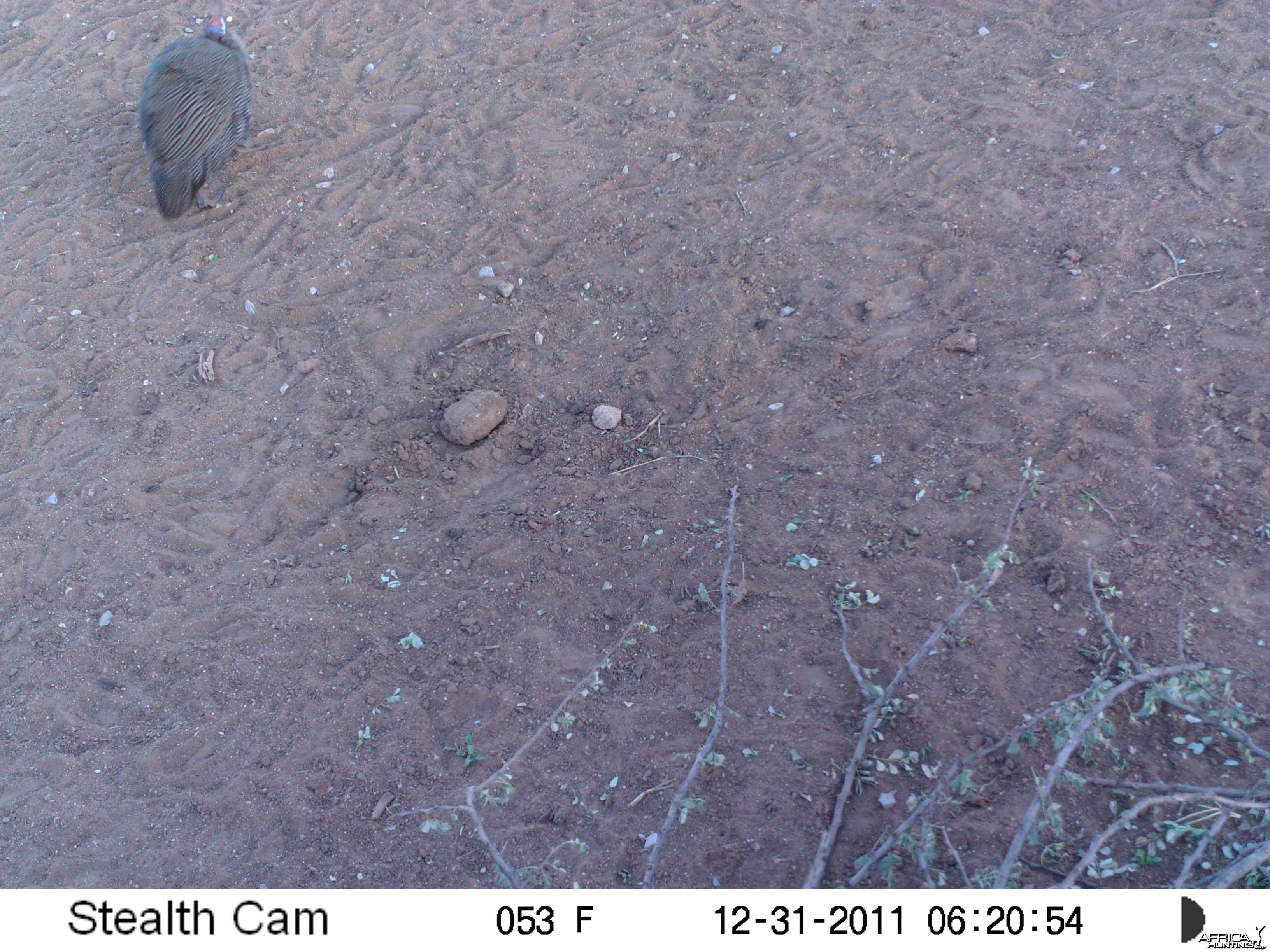 Guineafowl Trail Camera Namibia