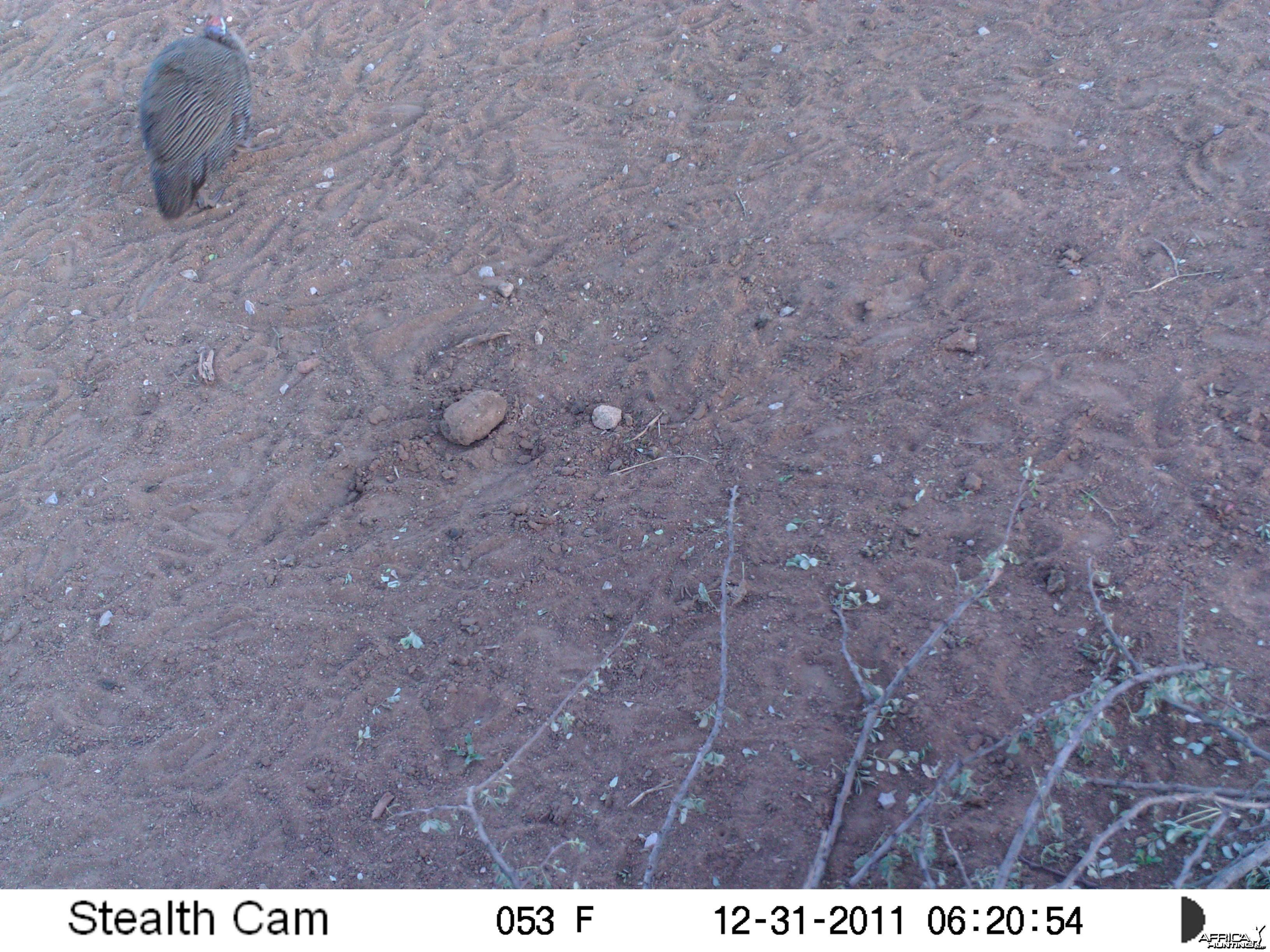Guineafowl Trail Camera Namibia