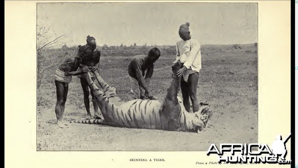 Skinning a tiger.