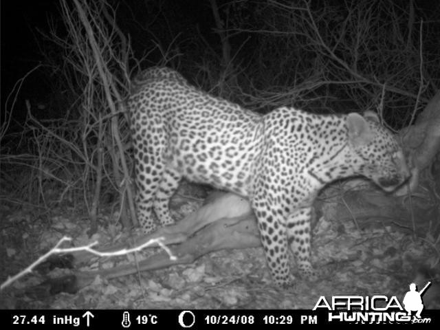 Leopard on Kudu