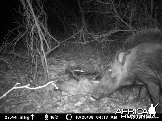 Bushpig on Kudu