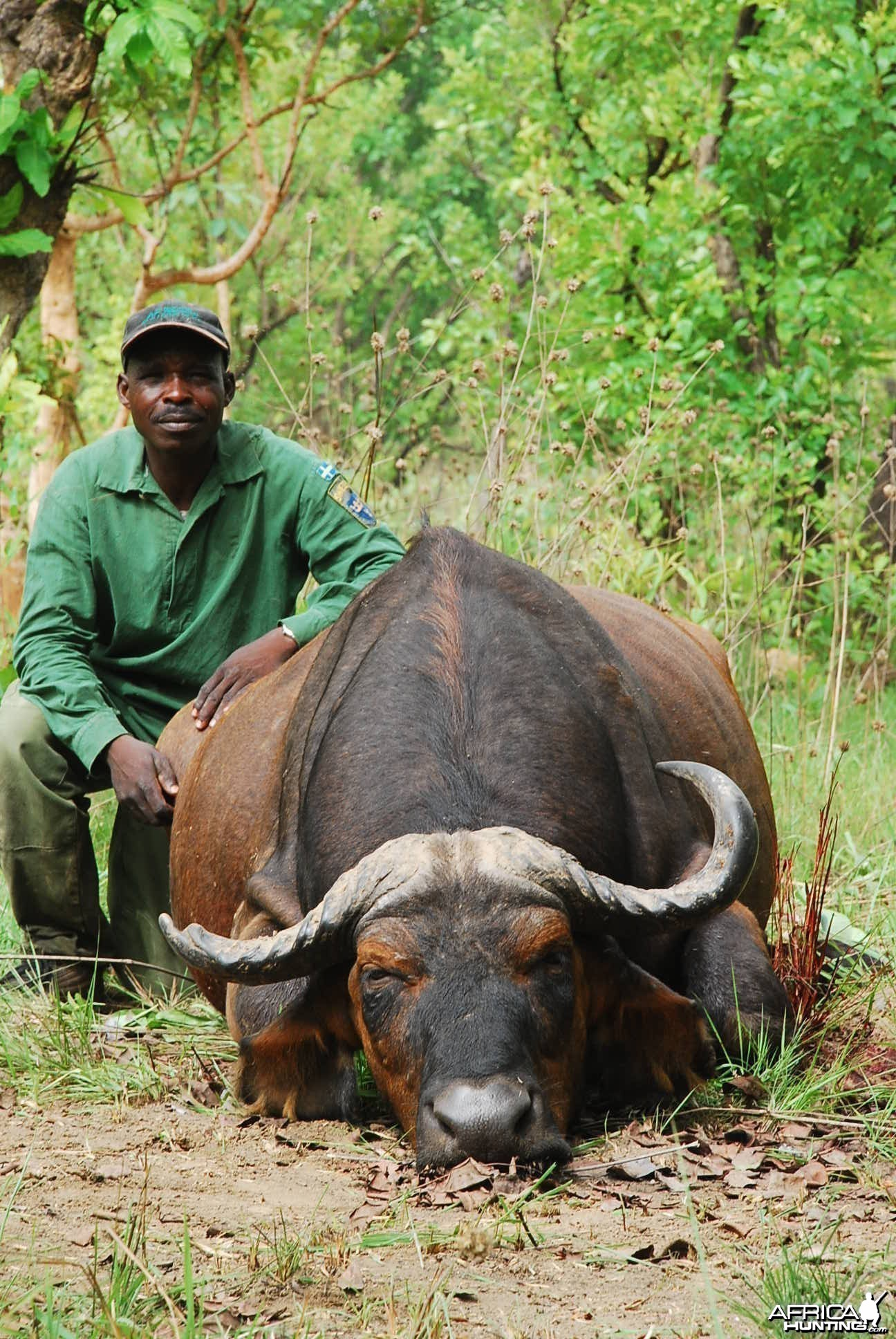 Old worn down Central African Savanna Buffalo