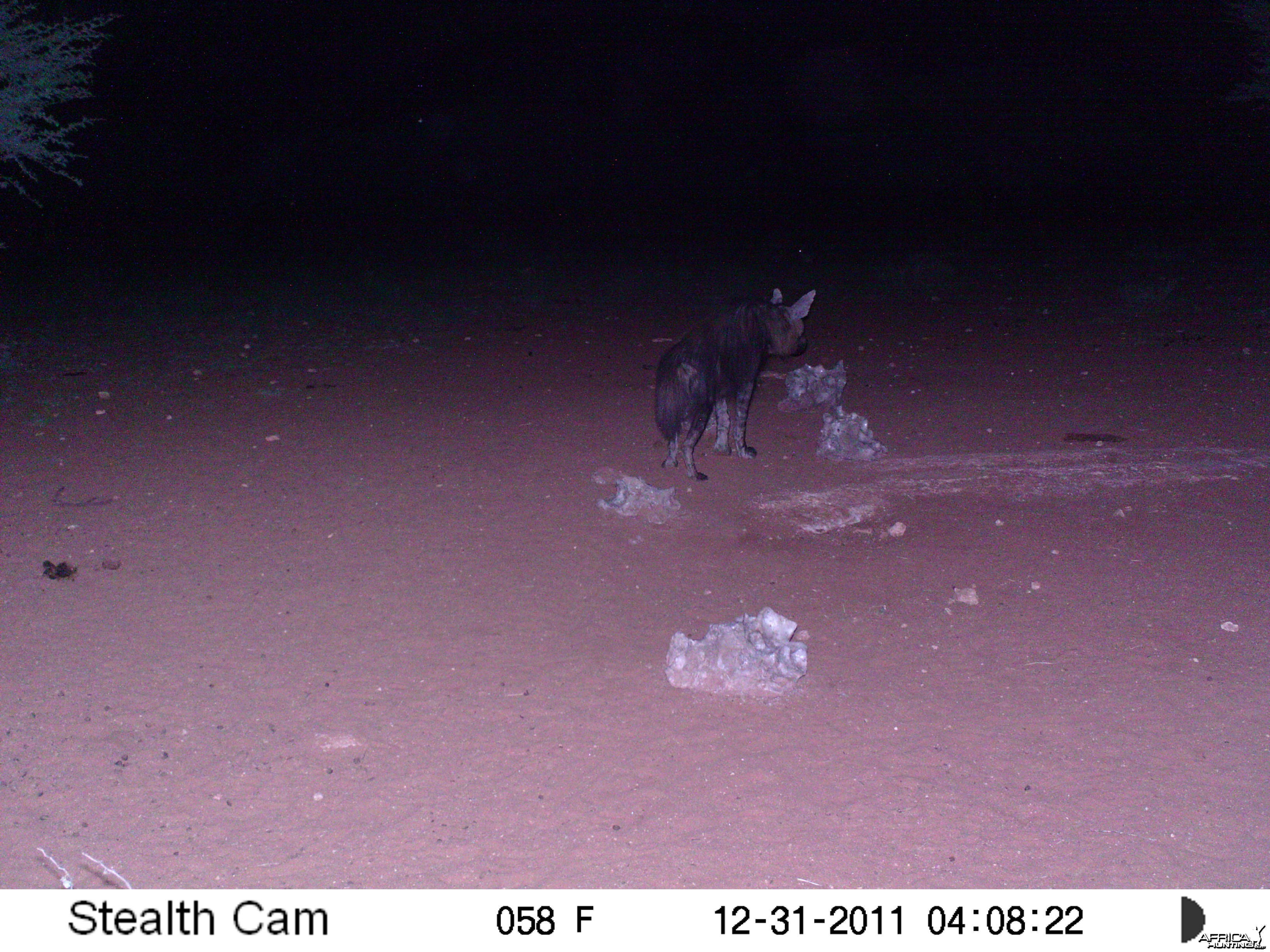 Brown Hyena Trail Camera Namibia