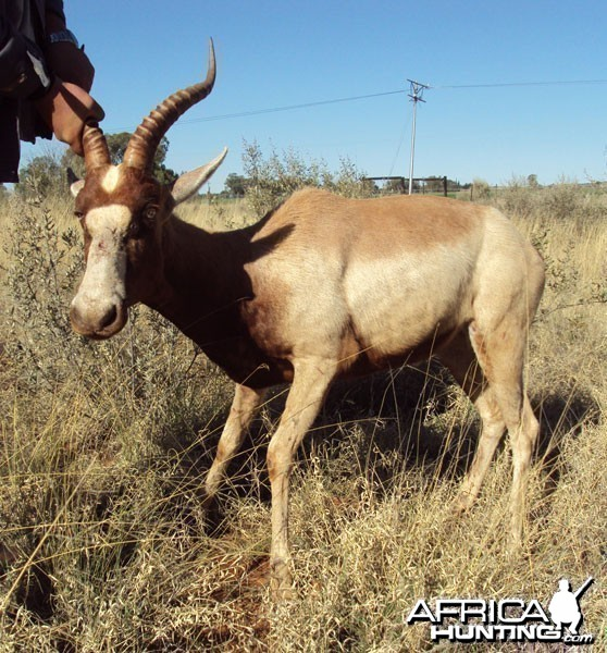 Yellow Blesbuck ram - South Africa - 3GwildLifeAuction