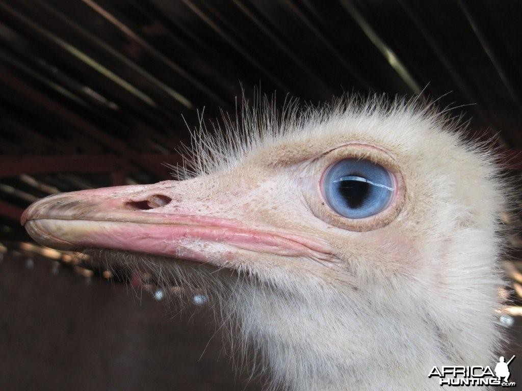 White Ostrich with Blue eye for sale 3GwildLifeAuction