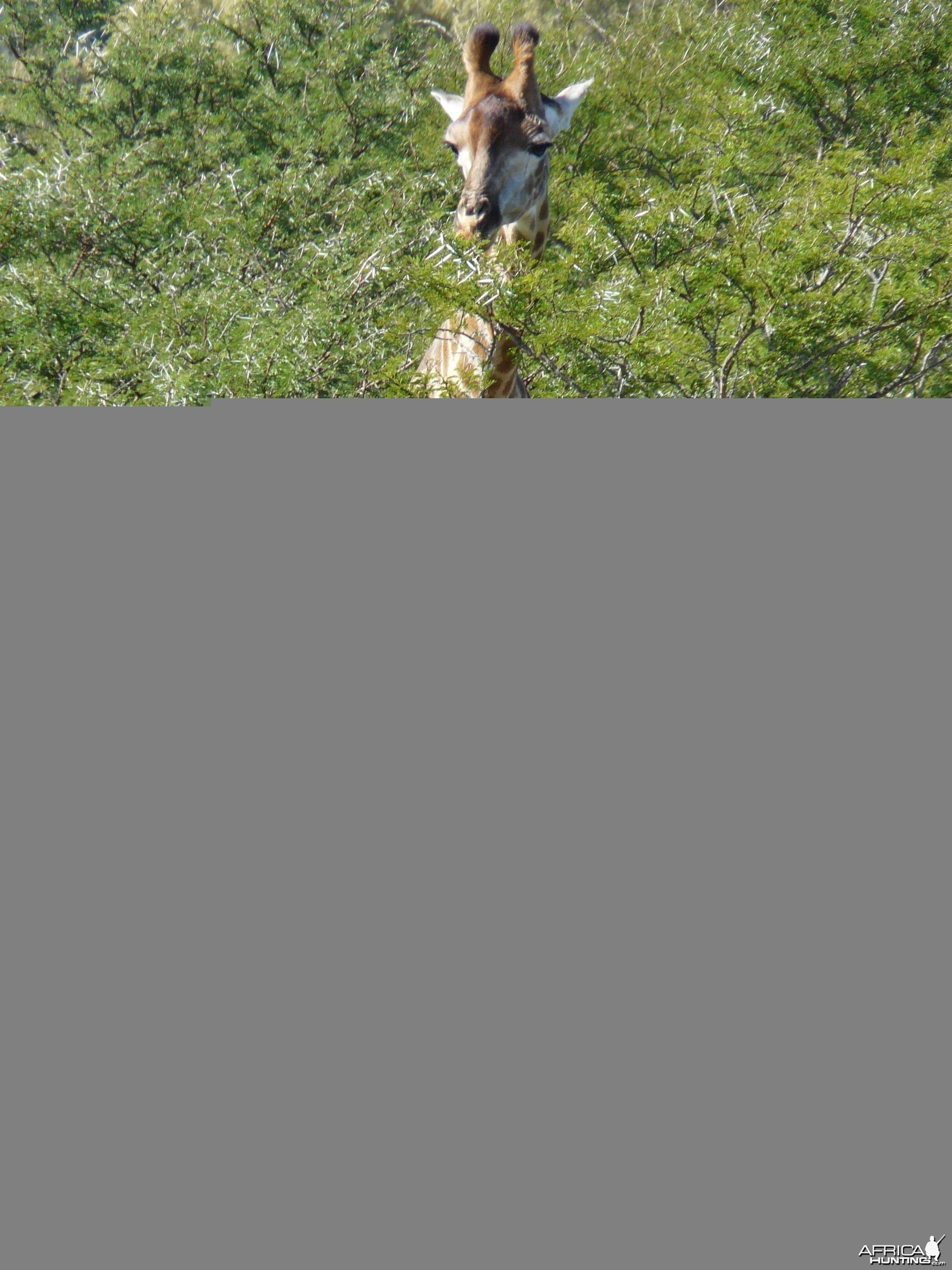 Nice male Giraffe in the bush.