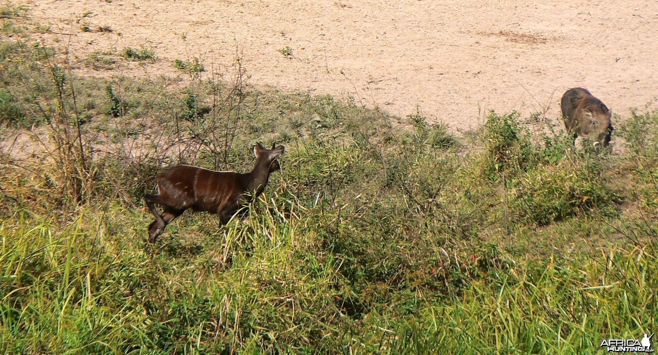 Young forest sitatunga bull vs female warthog