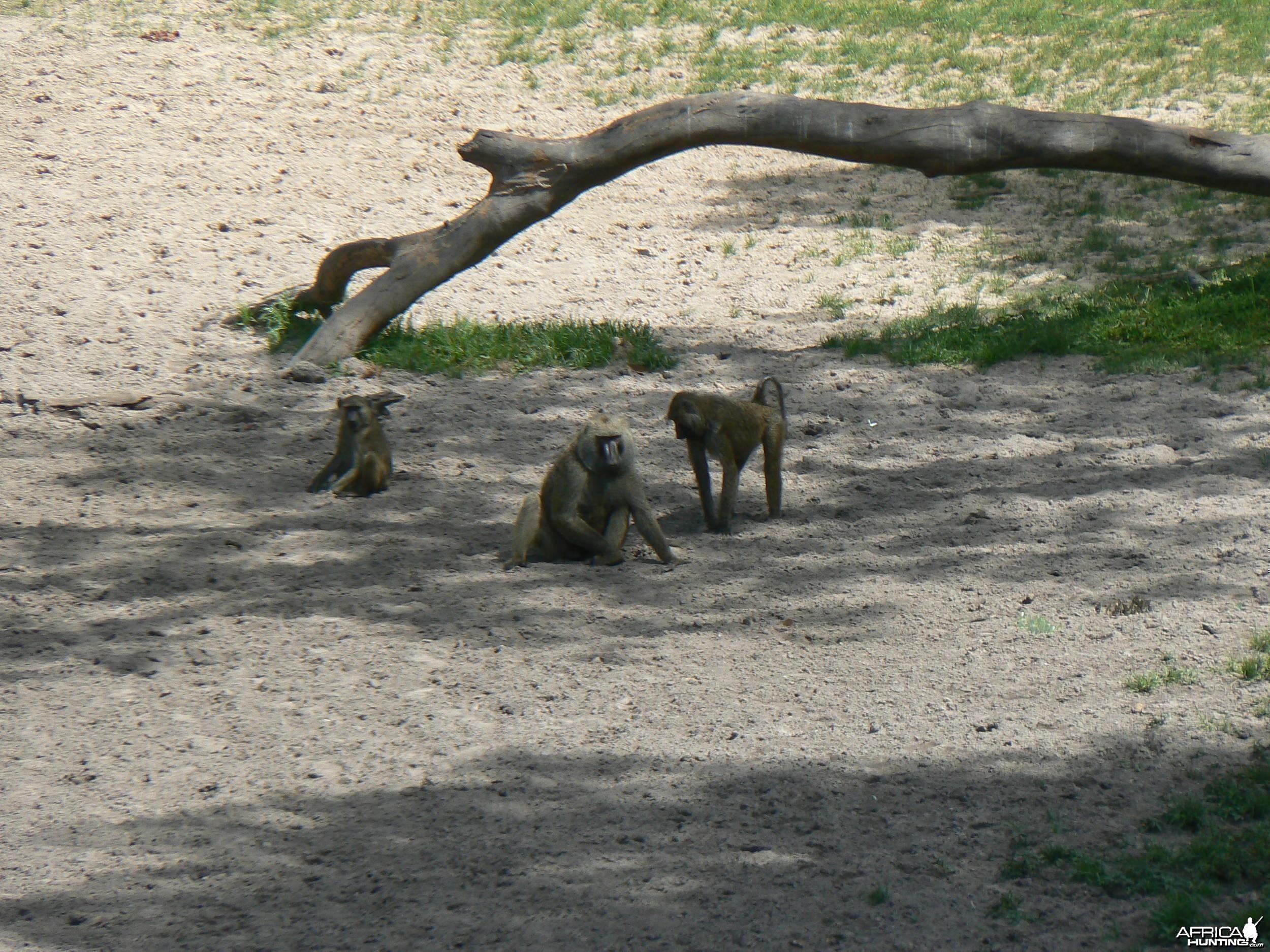 Doguera baboon