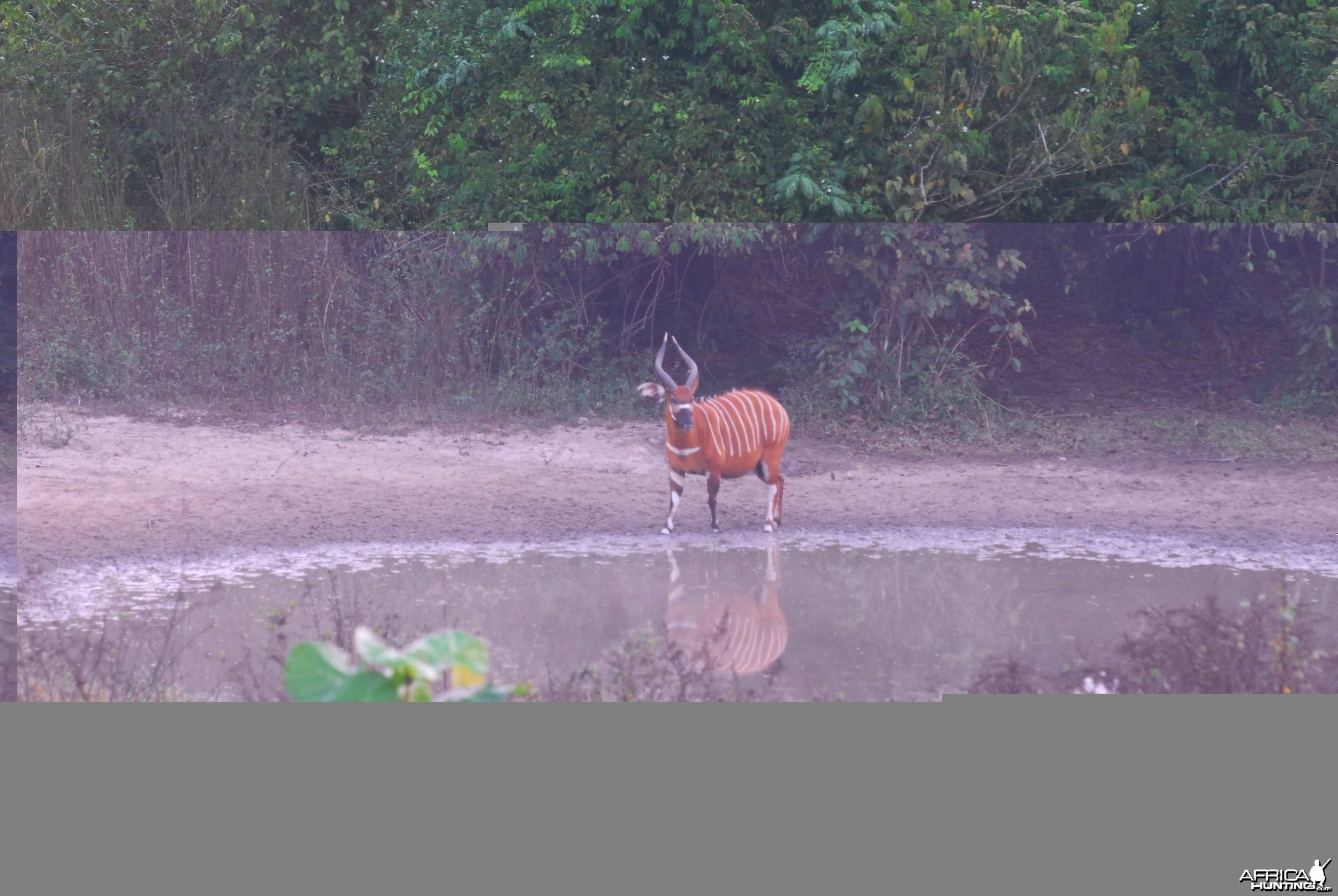 Bongo cow