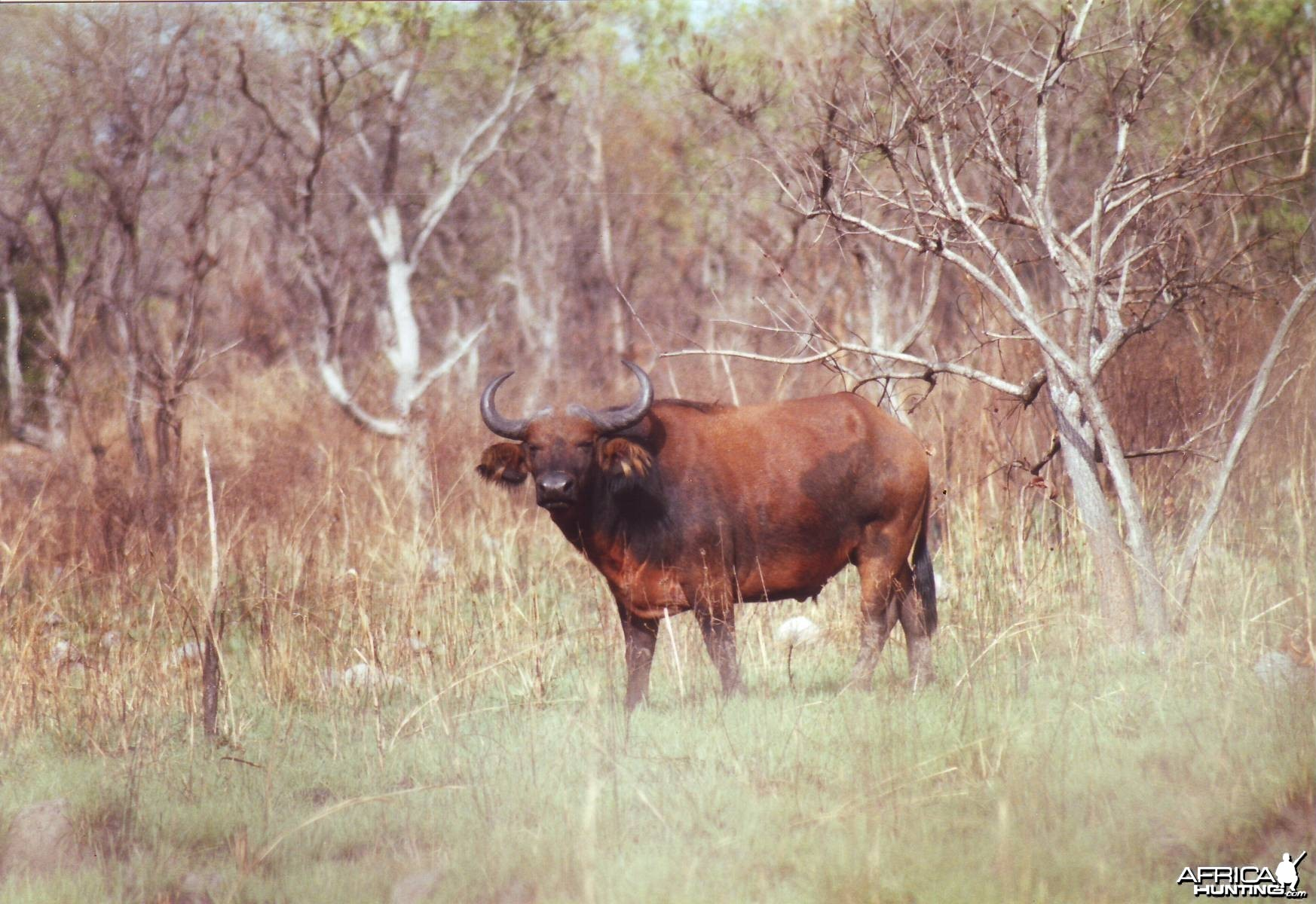 Young red buffalo. CAR