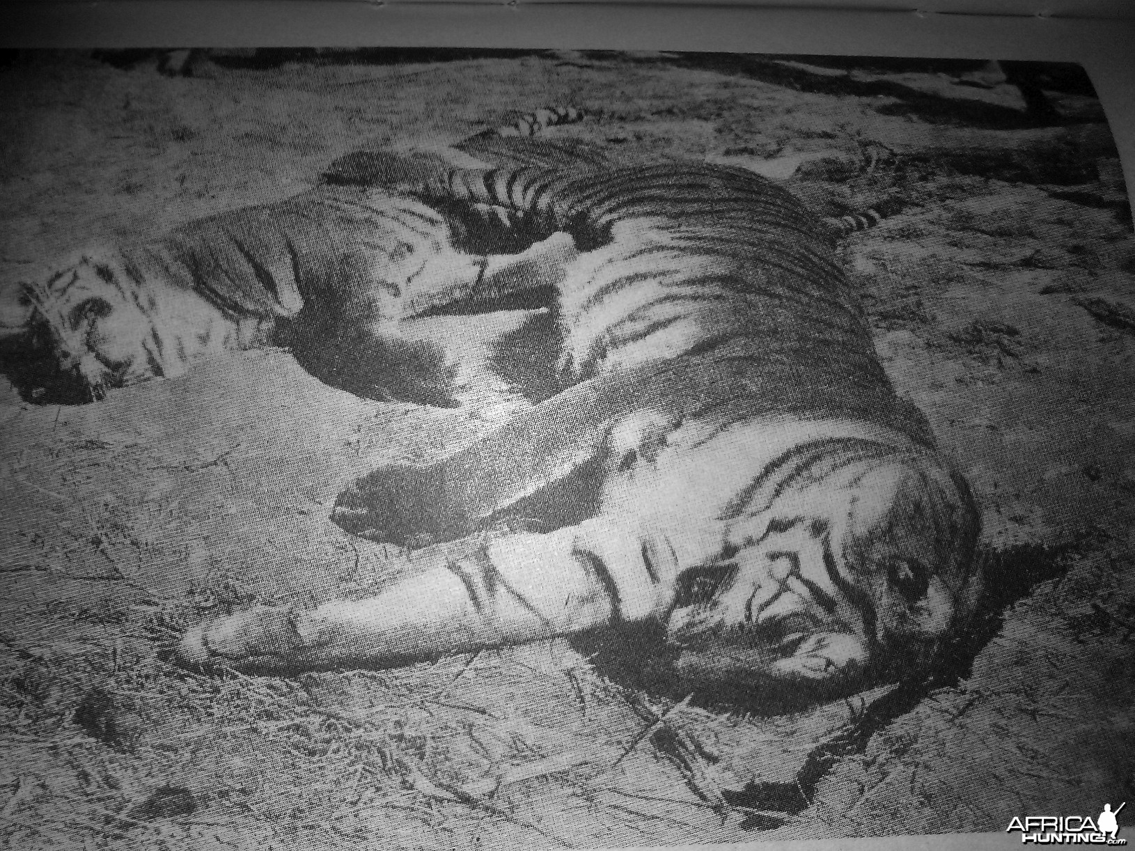 Rare Tiger hunting photographs from 1895 to 1907