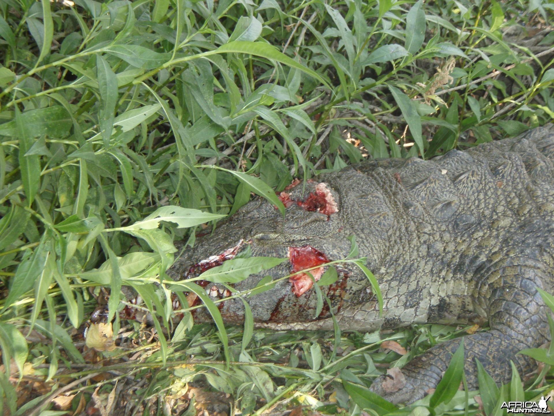 Shot Placement Crocodile