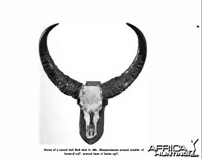 asian buffalo trophy