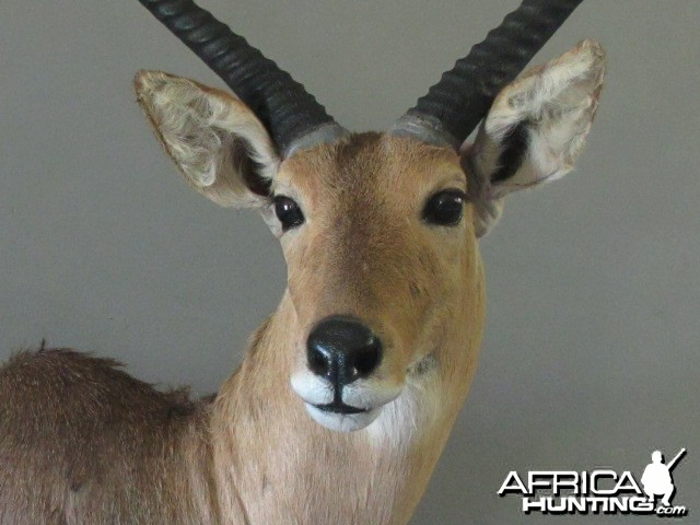 Reedbuck Close Up