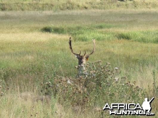 Fallow Deer Great buck