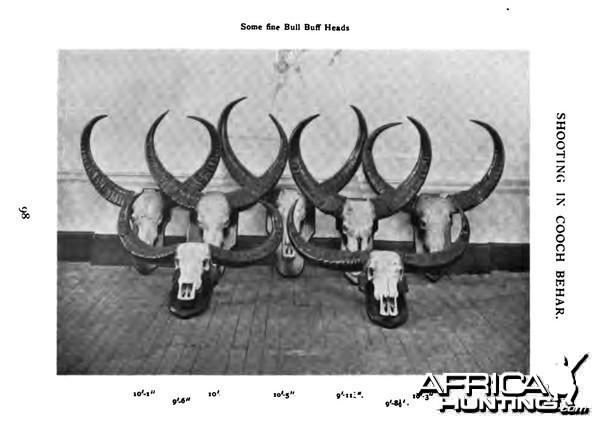 Buffalo Trophies