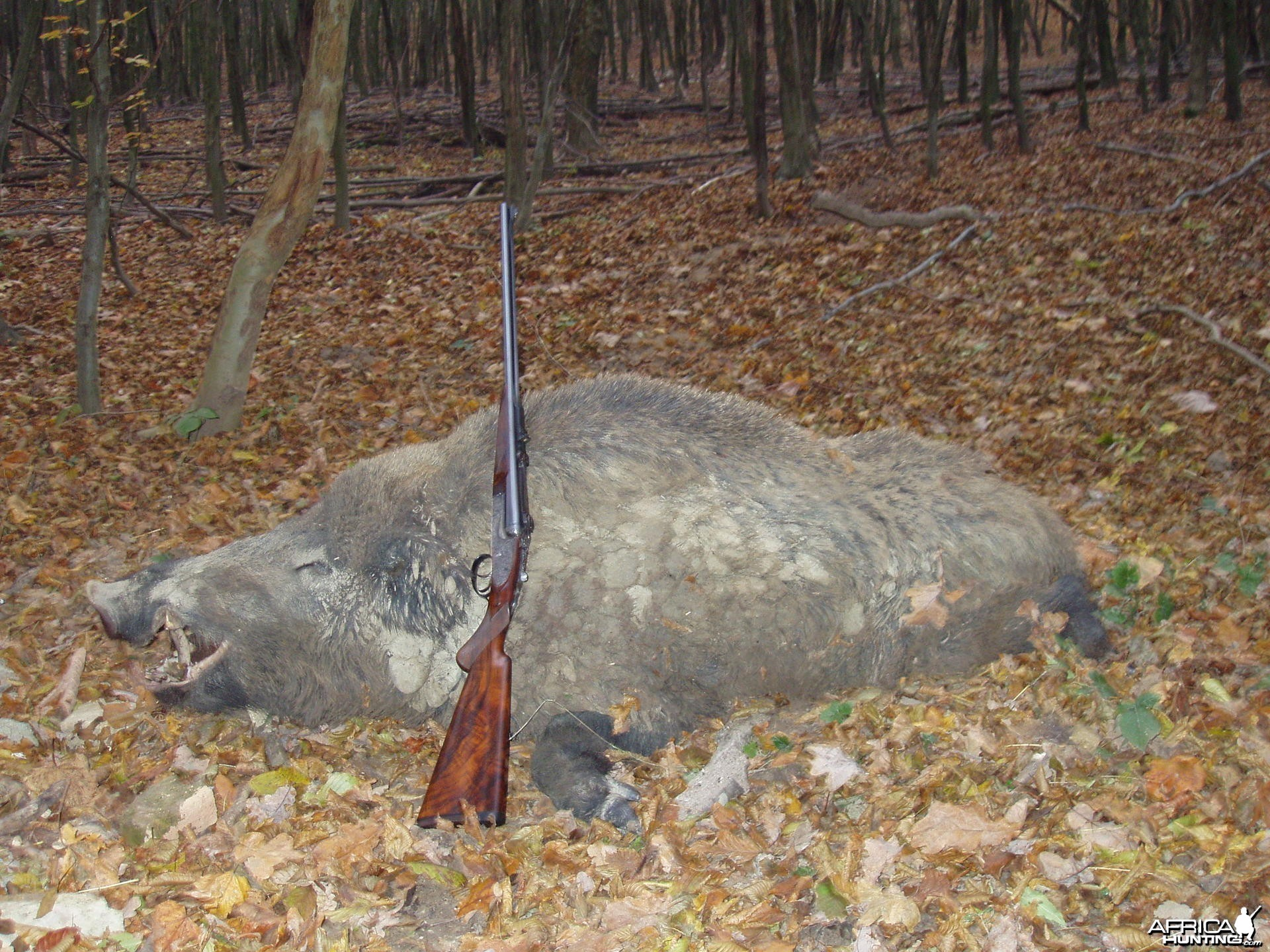 my 9.3x74r jefferys double rifle and a hungarian boar