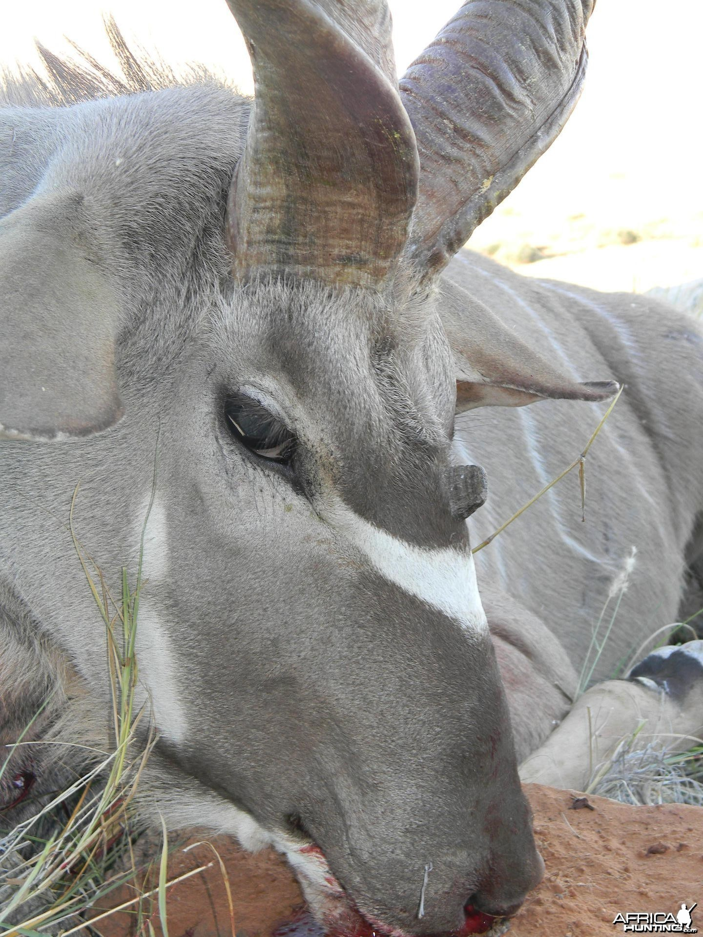 Three horned Greater Kudu hunted in South Africa