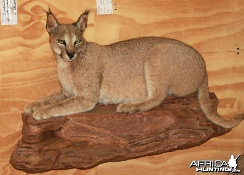 Caracal Full Mount Taxidermy