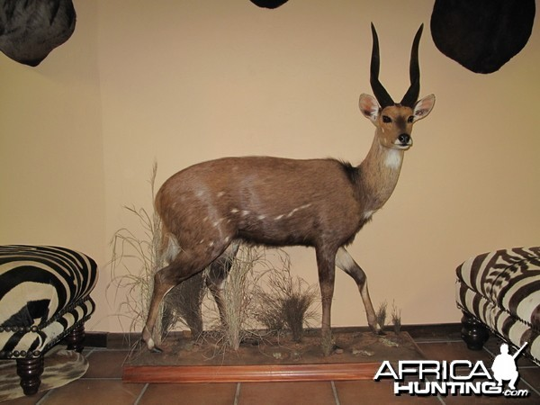 Bushbuck Full Mount Taxidermy