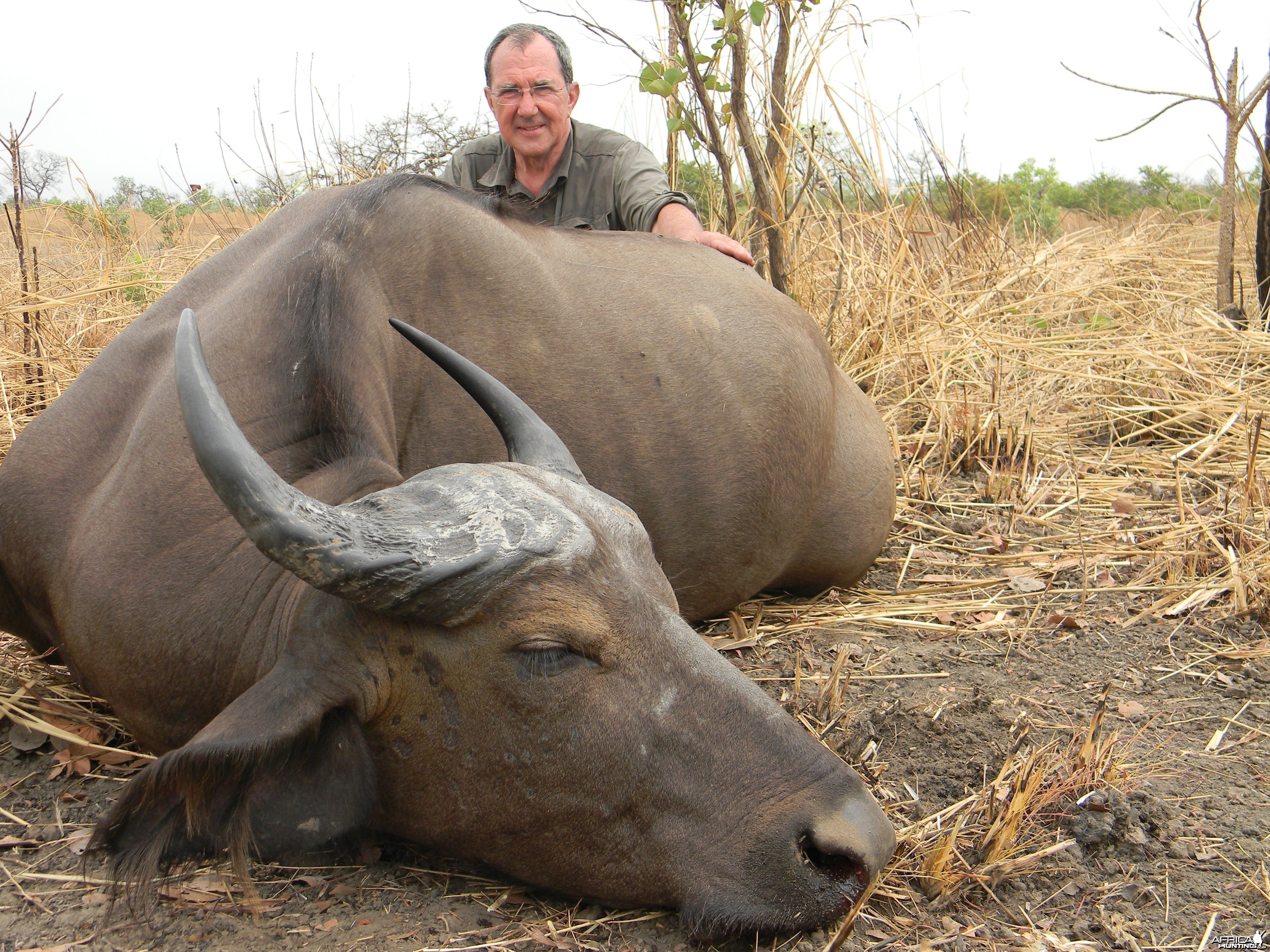 West African Savannah Buffalo hunted in Benin with Club Faune