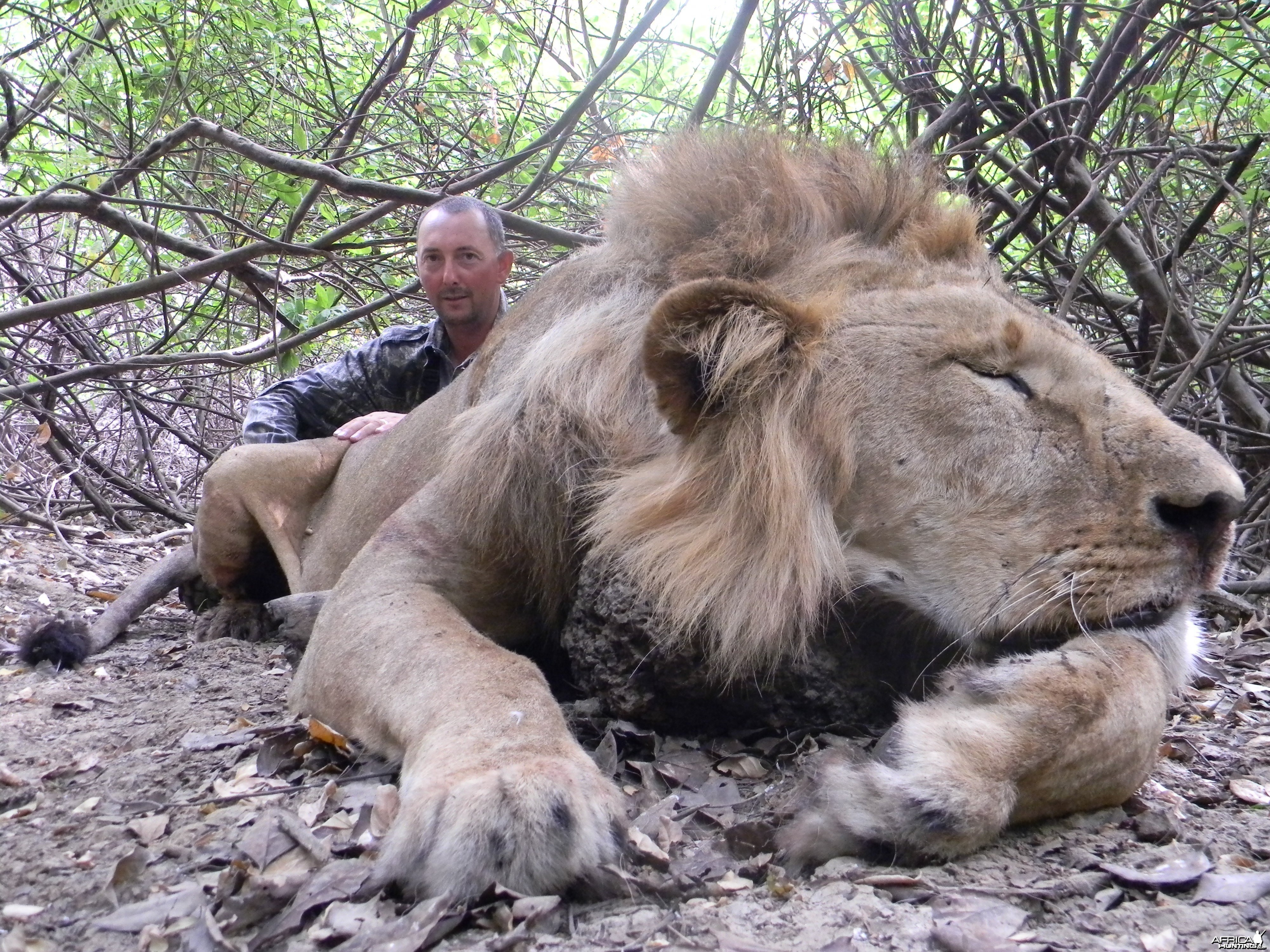 Lion hunted in Benin with Club Faune