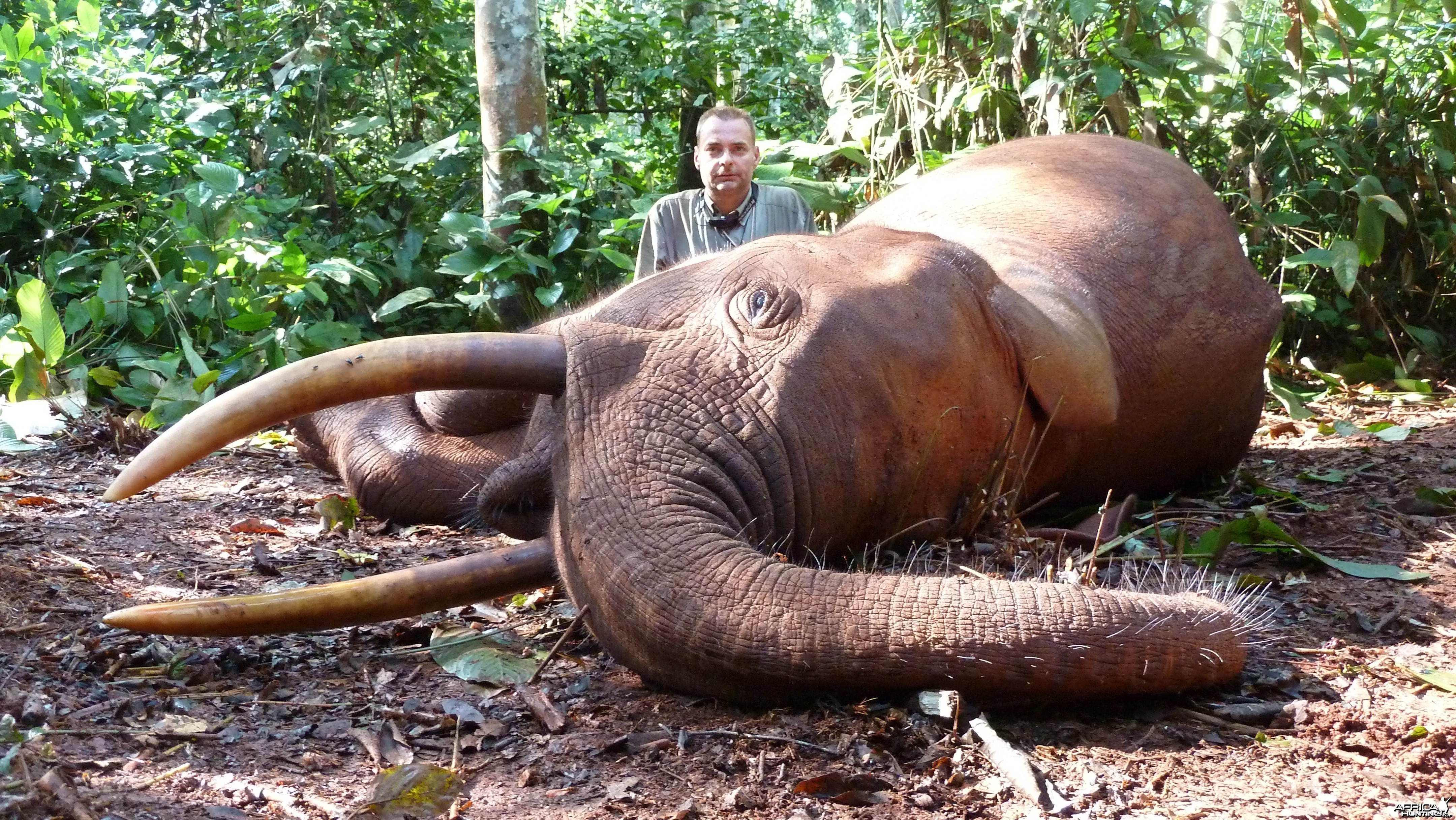 Forest Elephant hunted in Cameroon with Club Faune